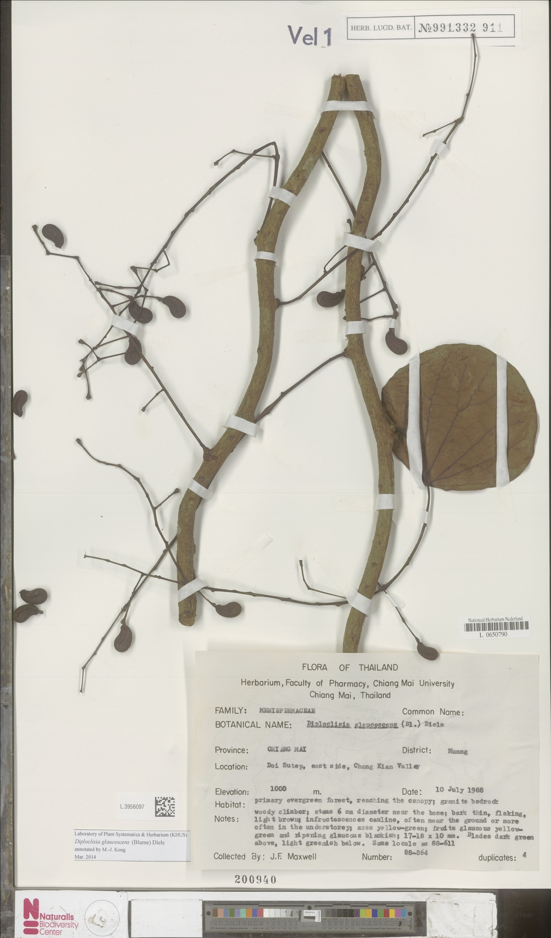 L.3956097 | Diploclisia glaucescens (Blume) Diels