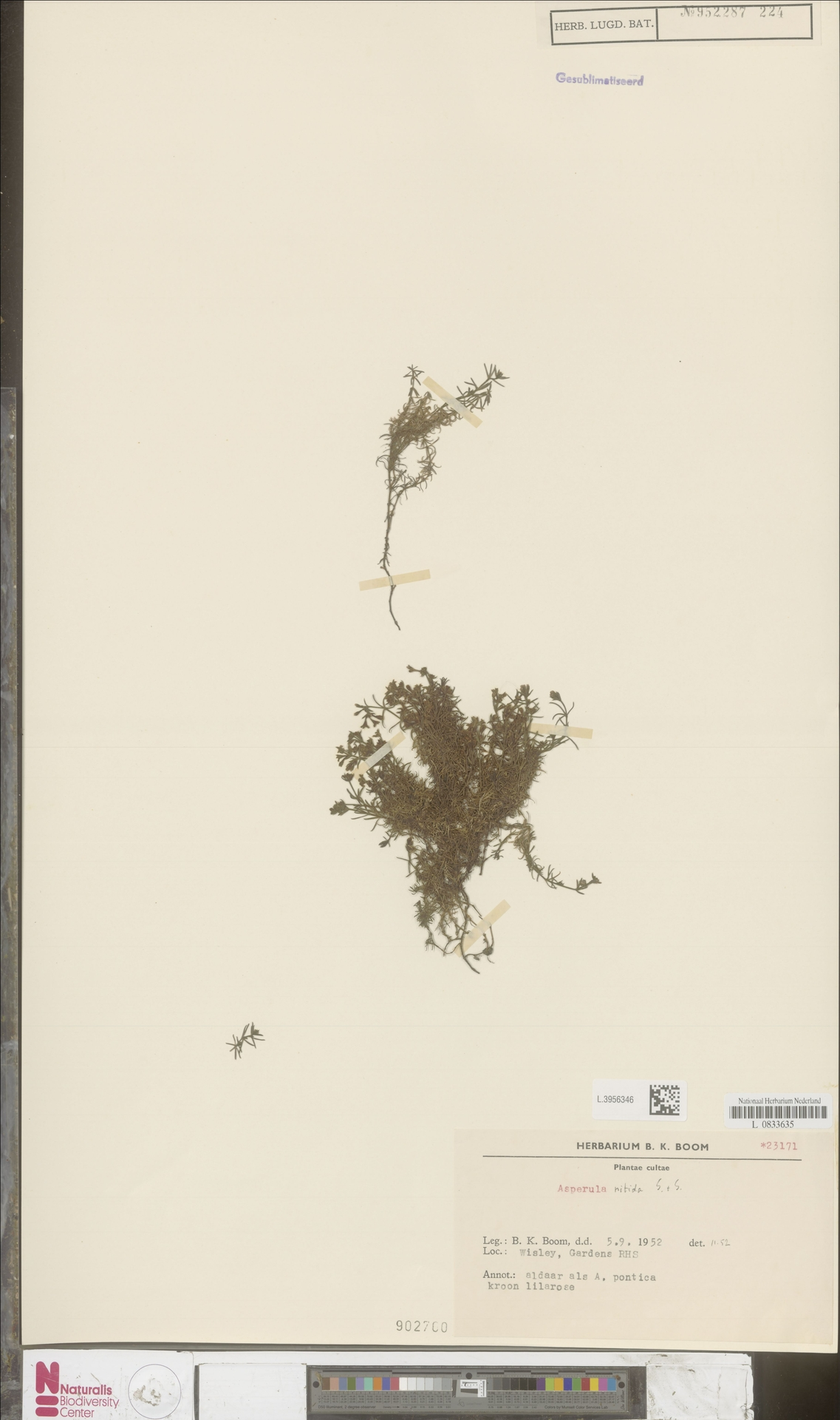L.3956346 | Asperula nitida Sibth. & Sm.