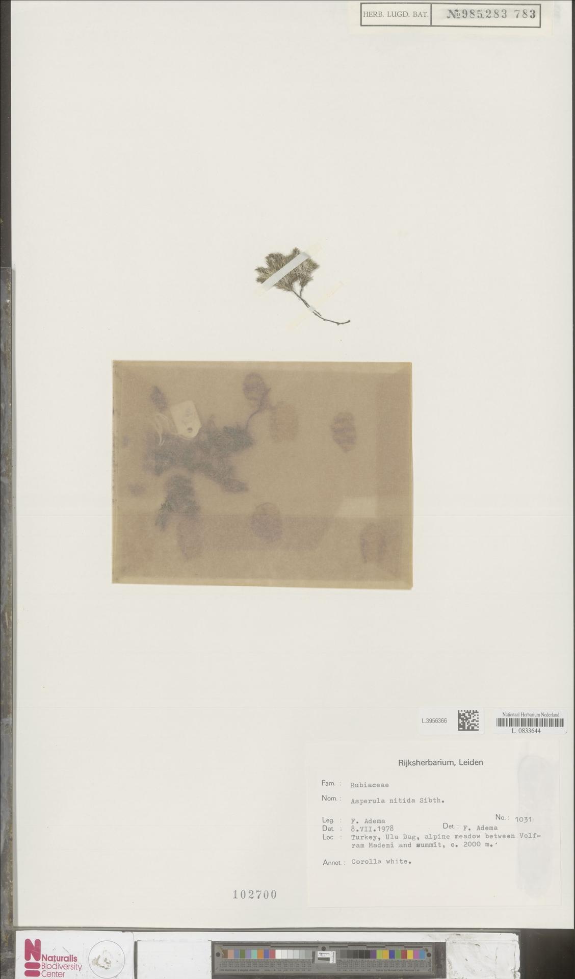 L.3956366 | Asperula nitida Sibth. & Sm.
