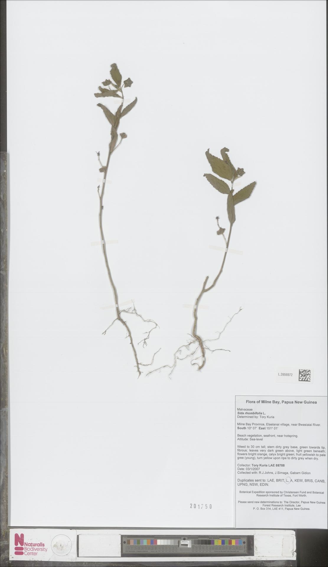 L.3956972 | Sida rhombifolia L.