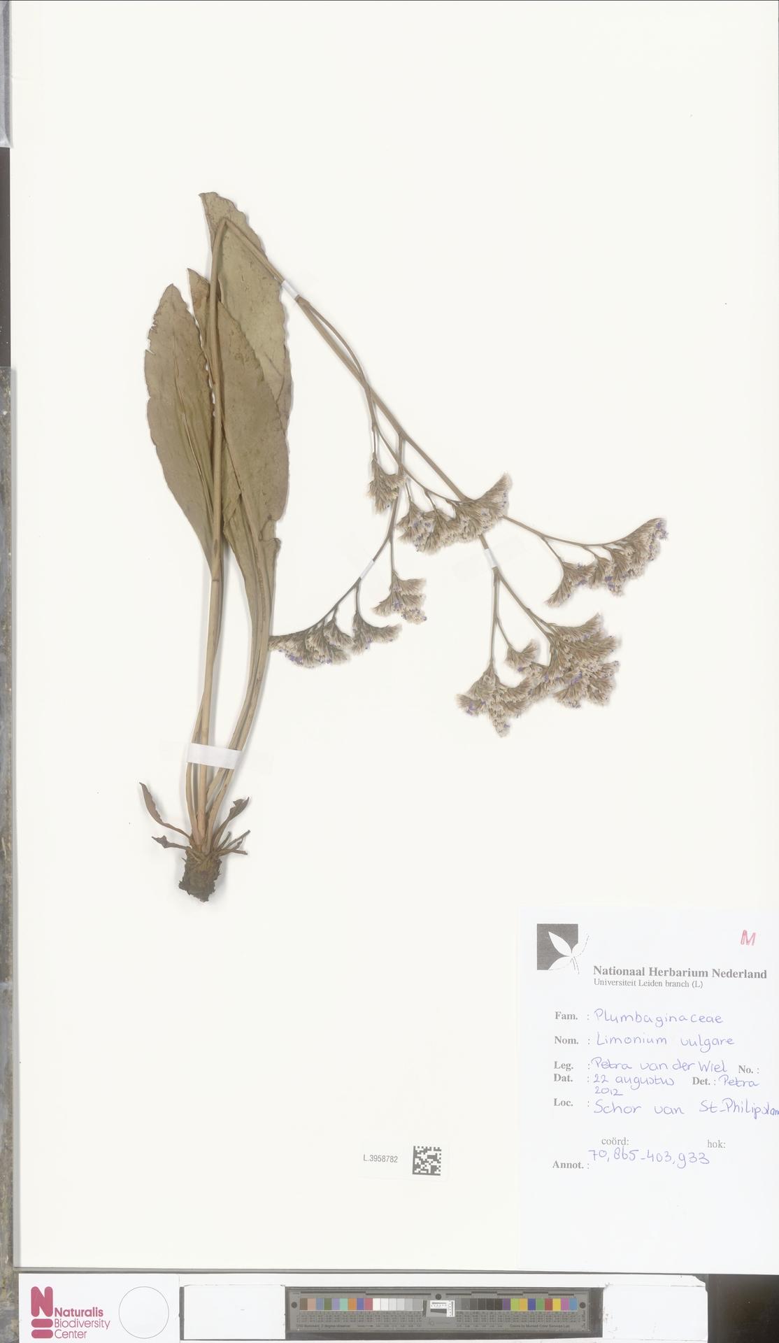 L.3958782 | Limonium vulgare Mill.