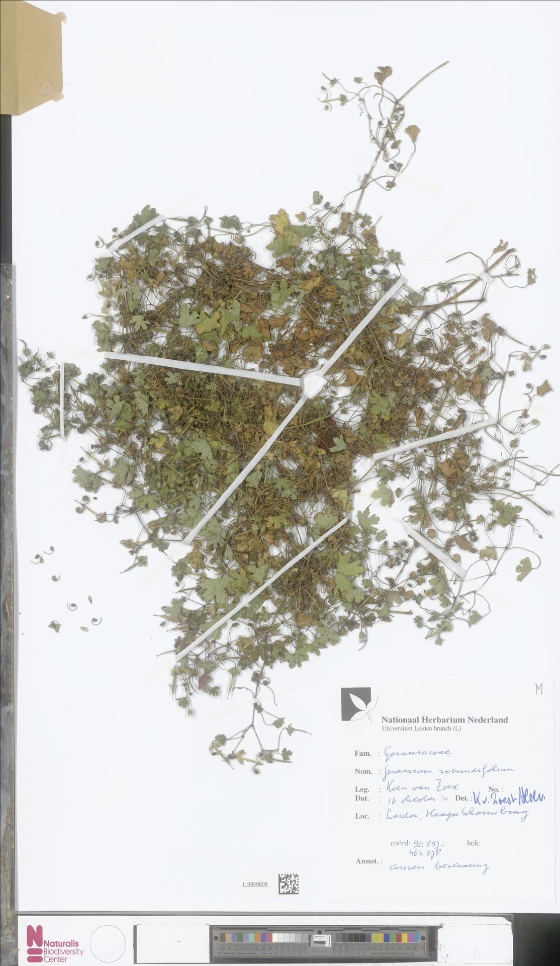 L.3959808   Geranium rotundifolium L.