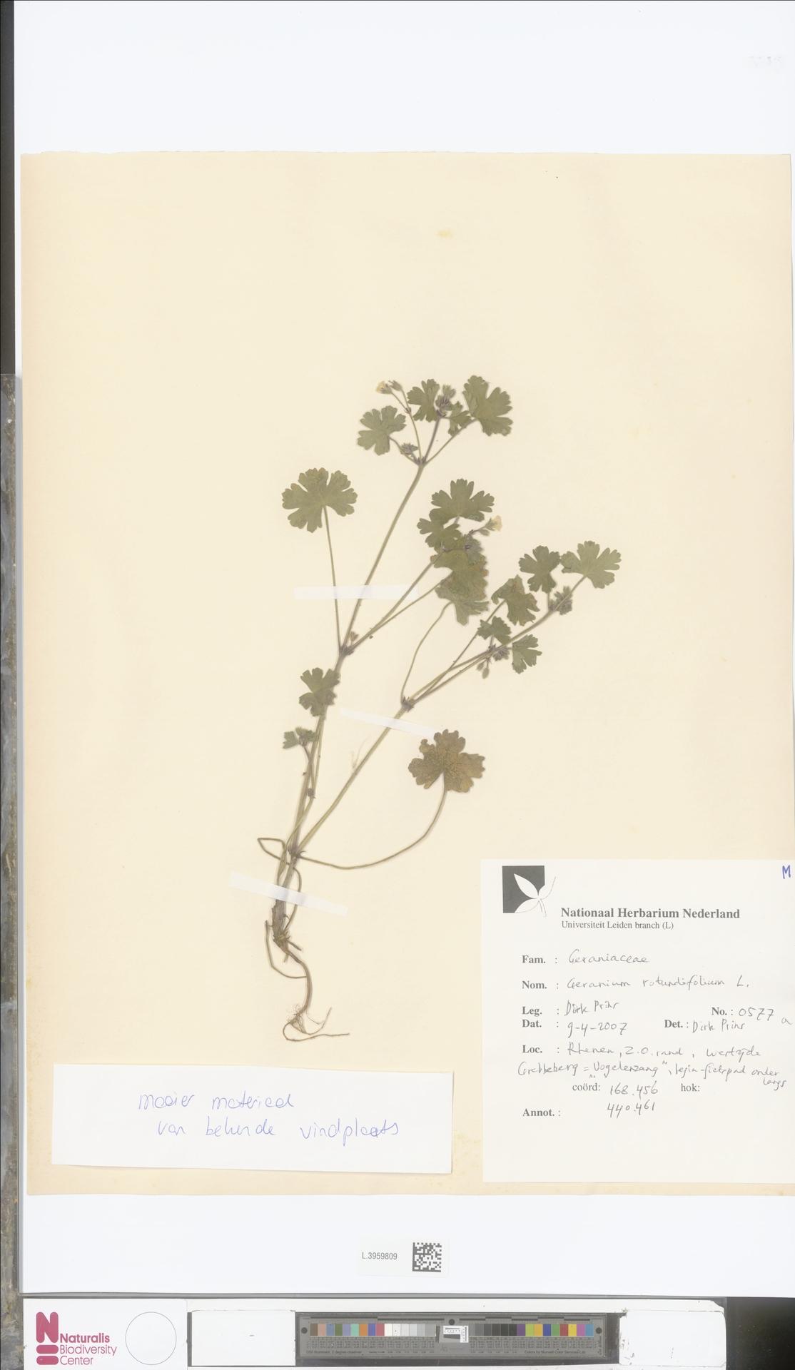 L.3959809   Geranium rotundifolium L.
