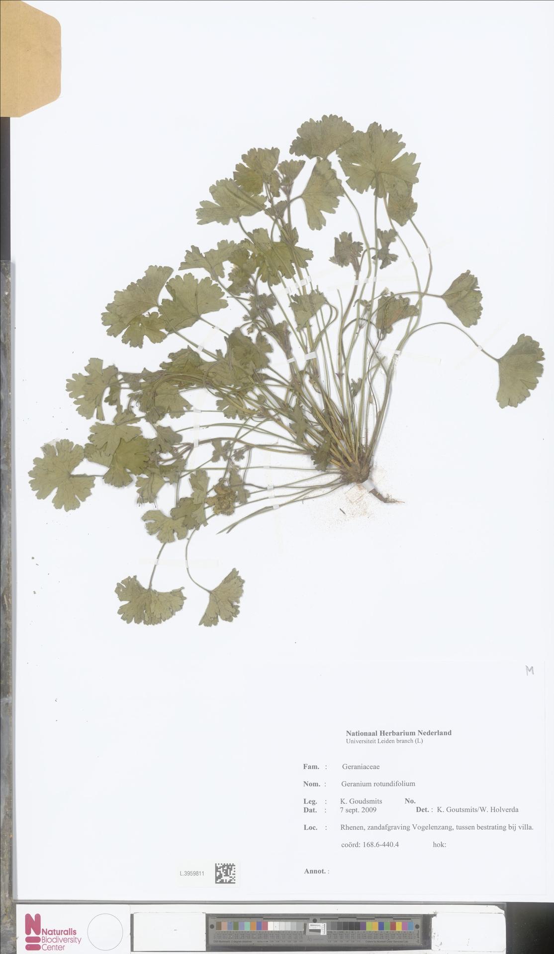 L.3959811   Geranium rotundifolium L.