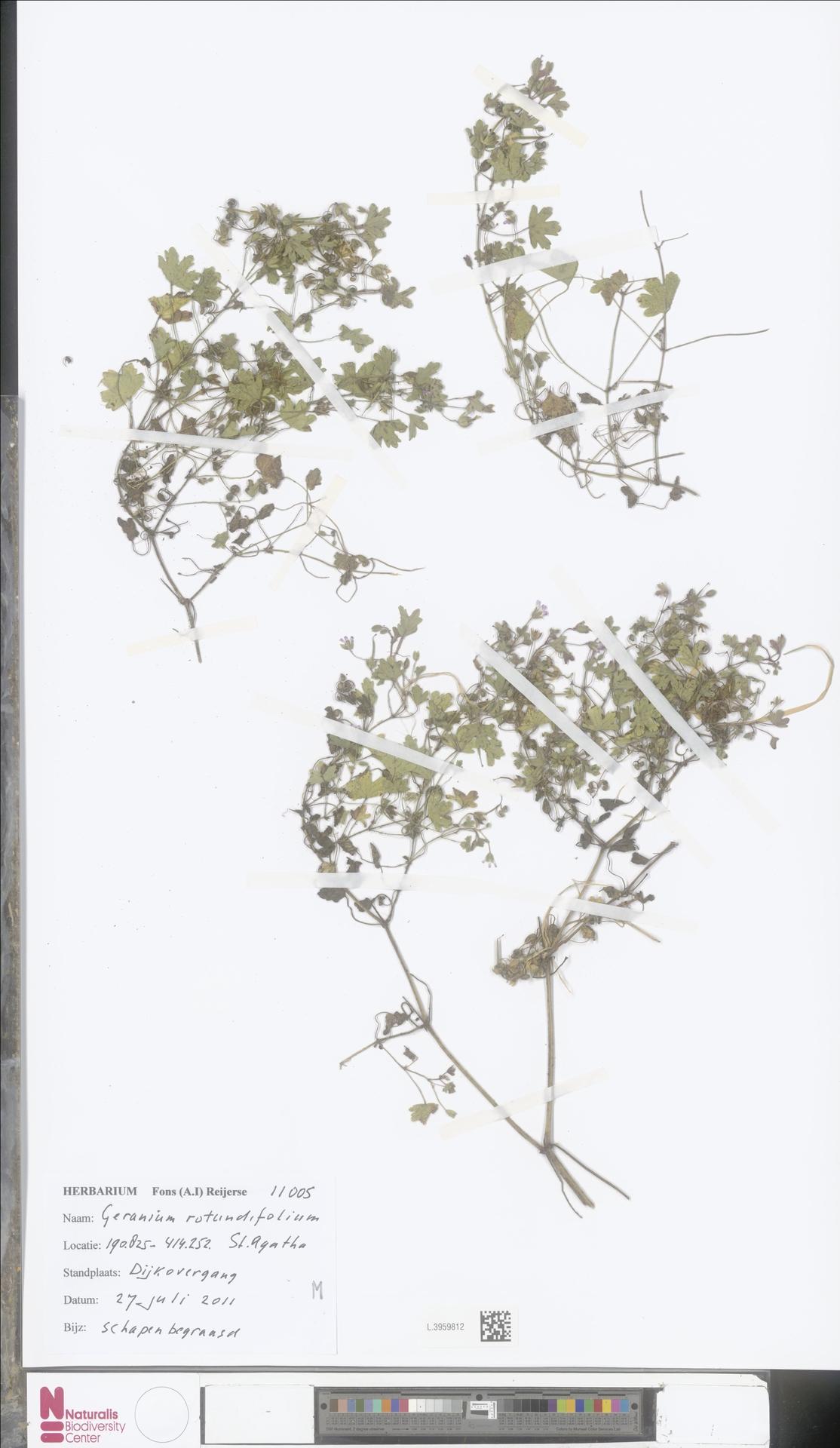 L.3959812 | Geranium rotundifolium L.