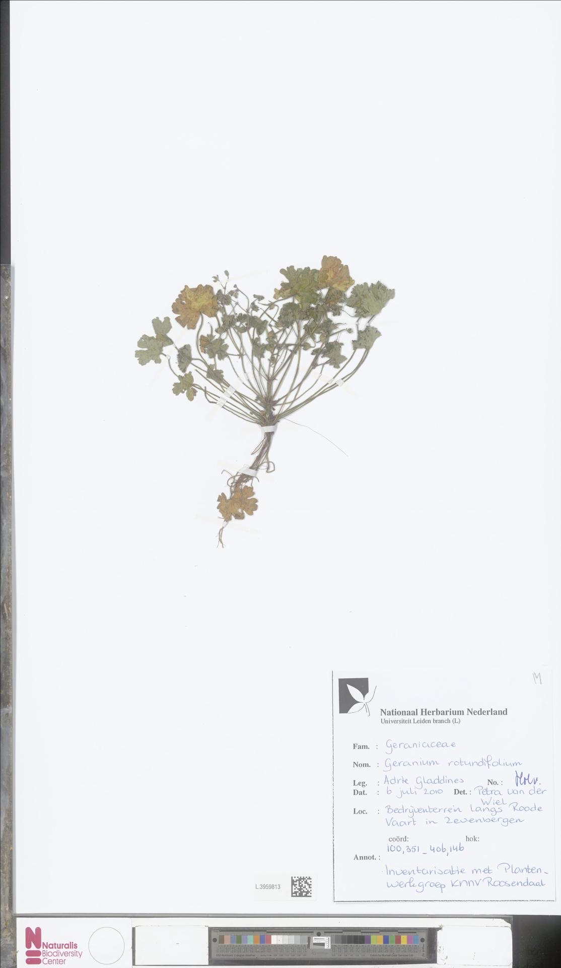 L.3959813   Geranium rotundifolium L.