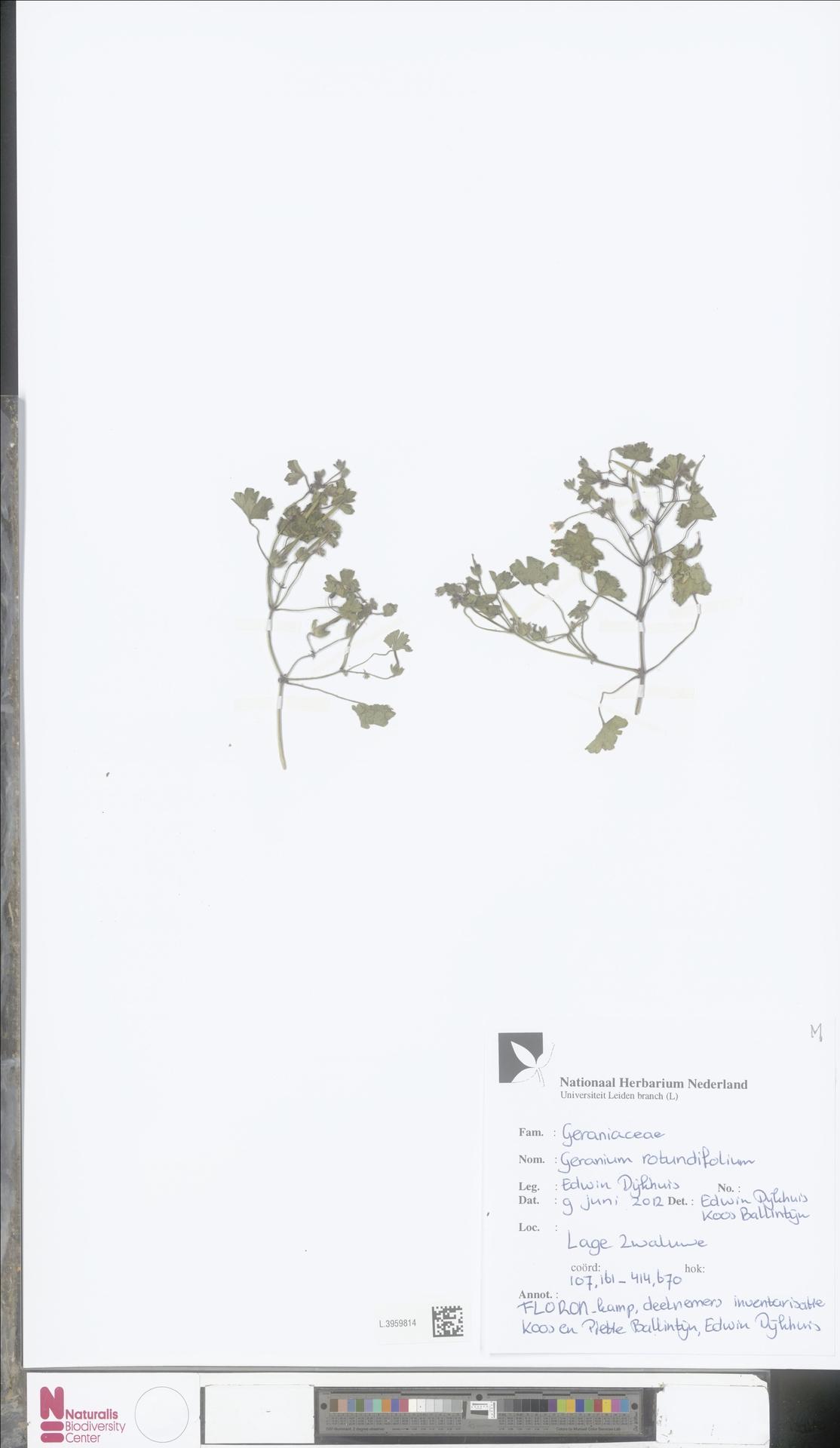L.3959814   Geranium rotundifolium L.