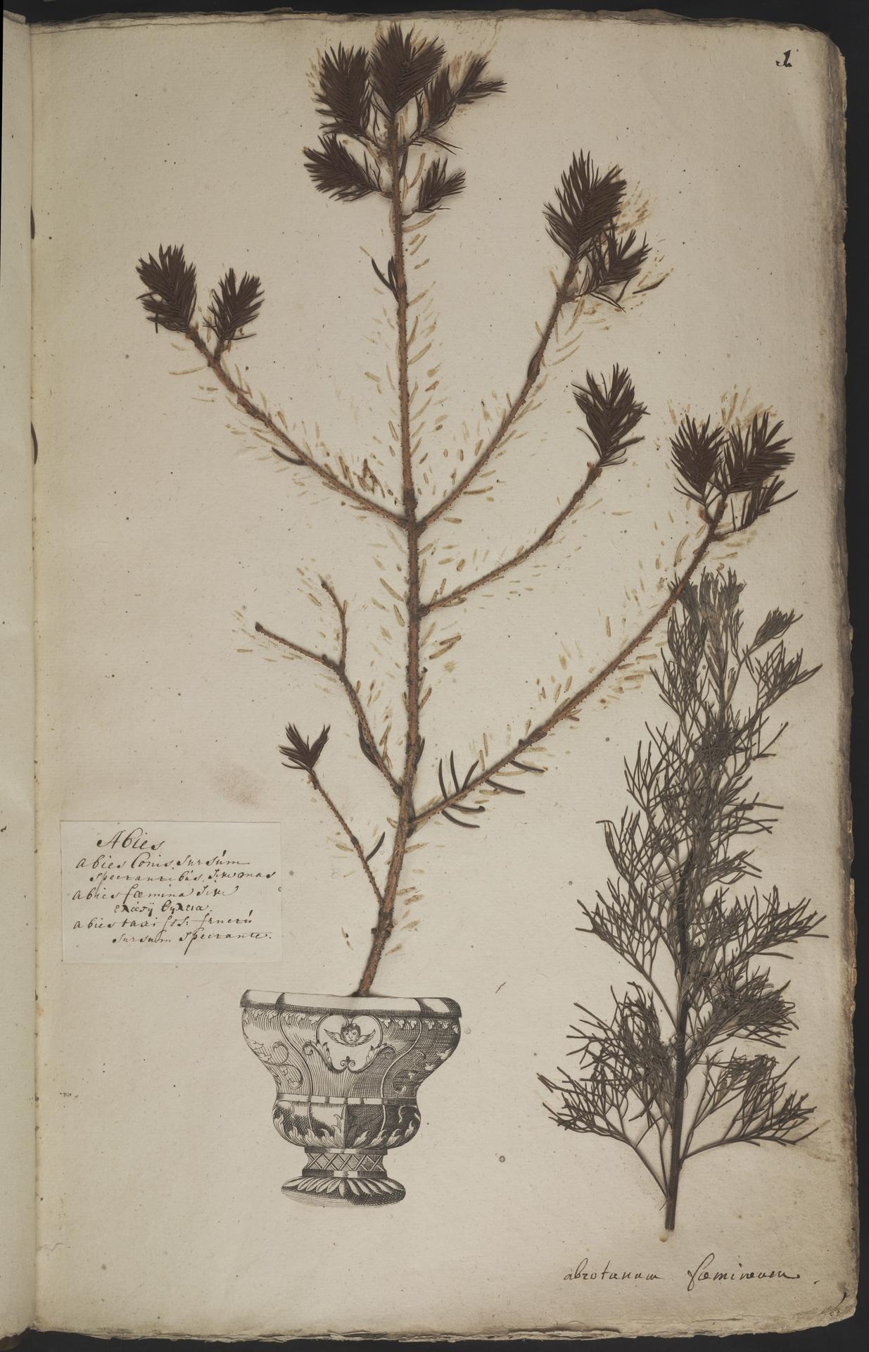 L.3960843 | Artemisia abrotanum L.