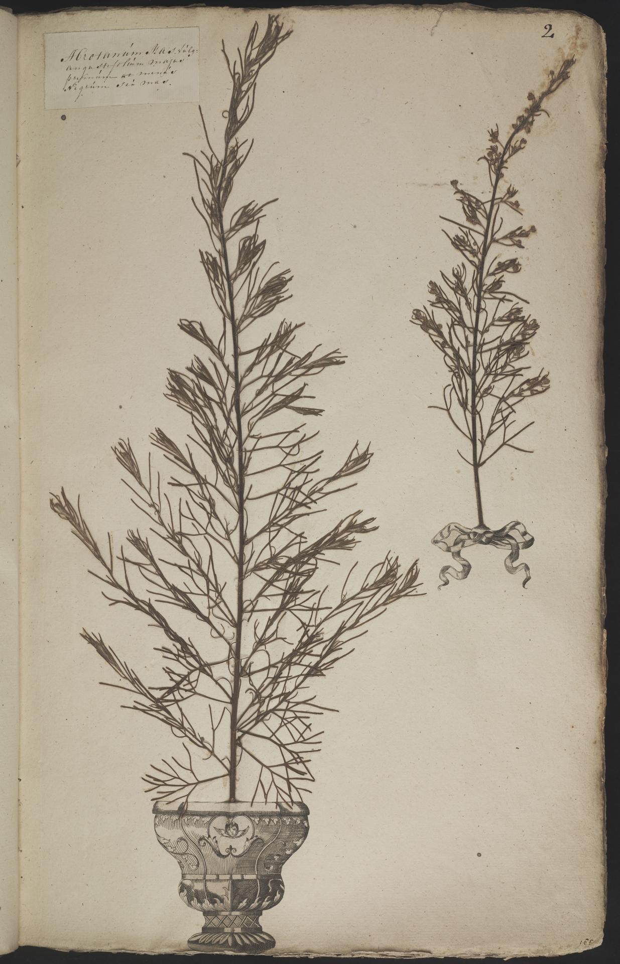 L.3960846   Artemisia abrotanum L.