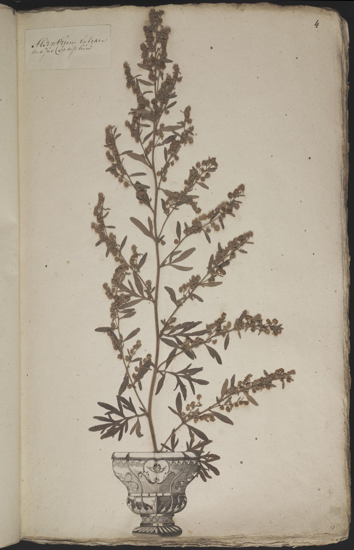 L.3960849 | Artemisia absinthium L.