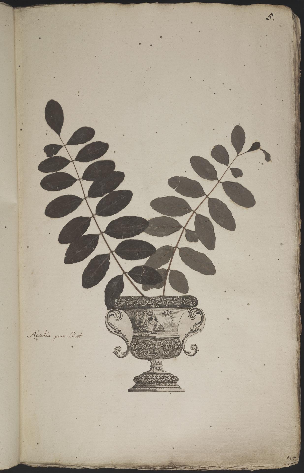 L.3960850 | Robinia pseudoacacia L.