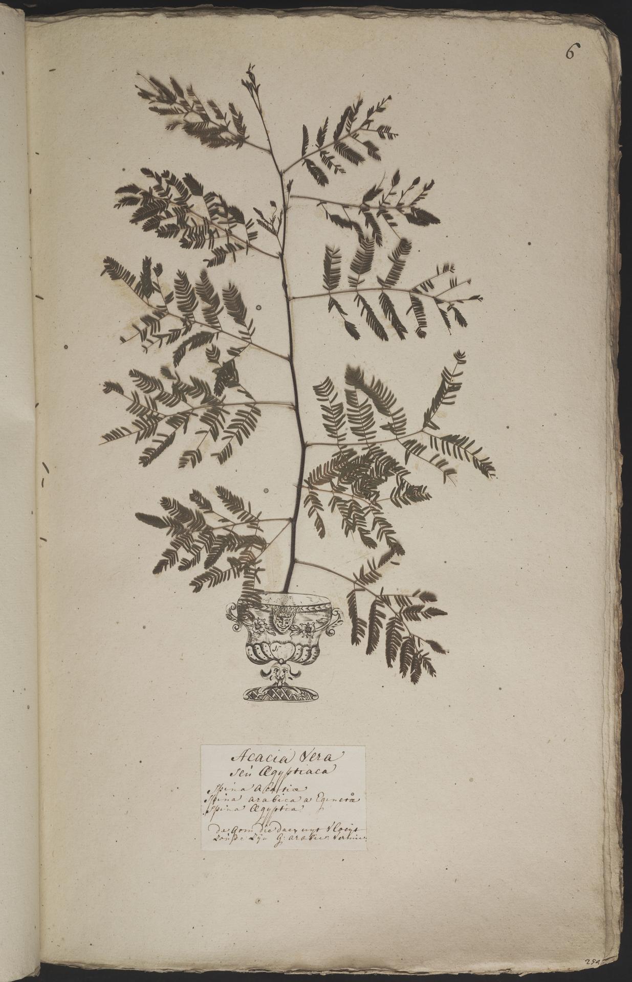 L.3960851 | Acacia nilotica (L.) Willd. ex Delile