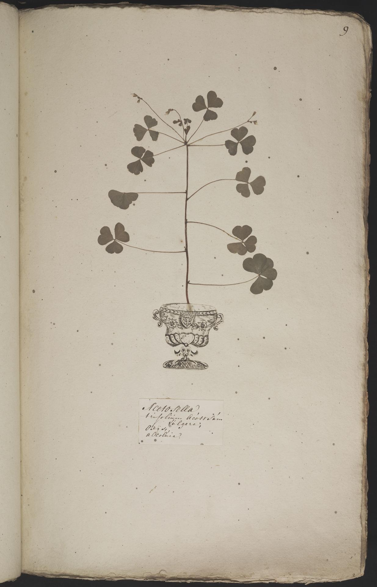 L.3960854 | Oxalis acetosella L.