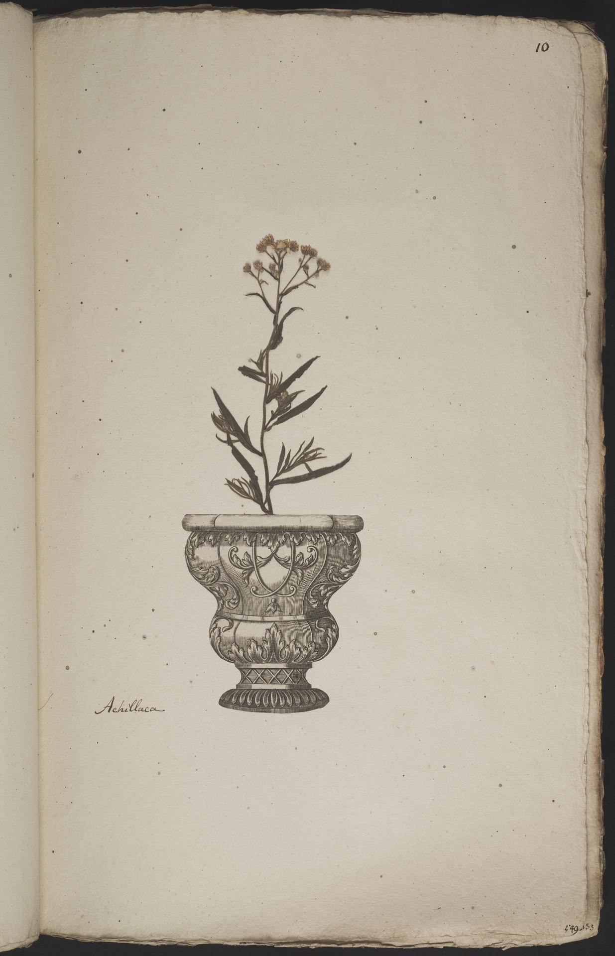 L.3960855 | Achillea ptarmica L.