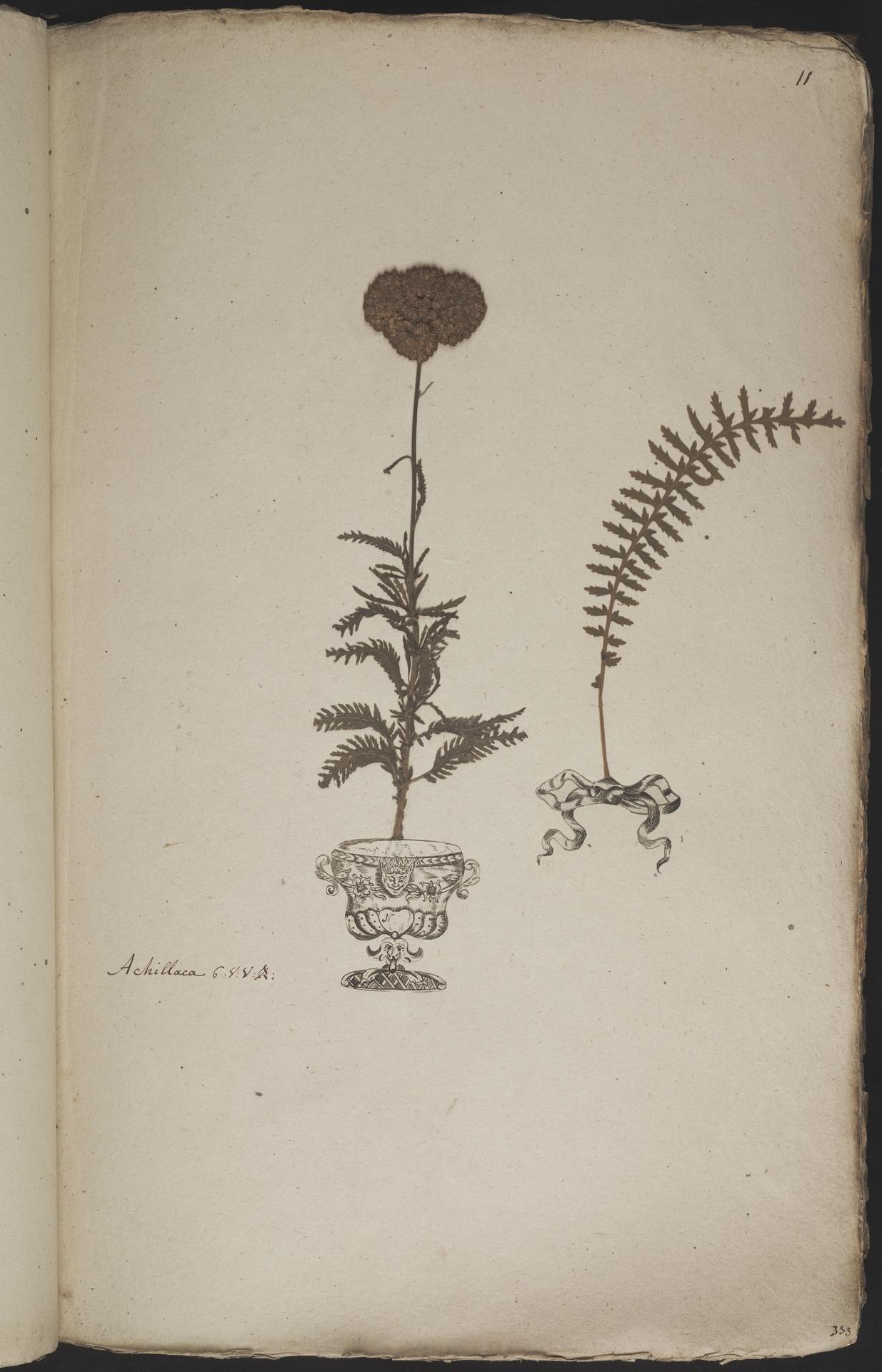L.3960856 | Achillea filipendulina Lam.