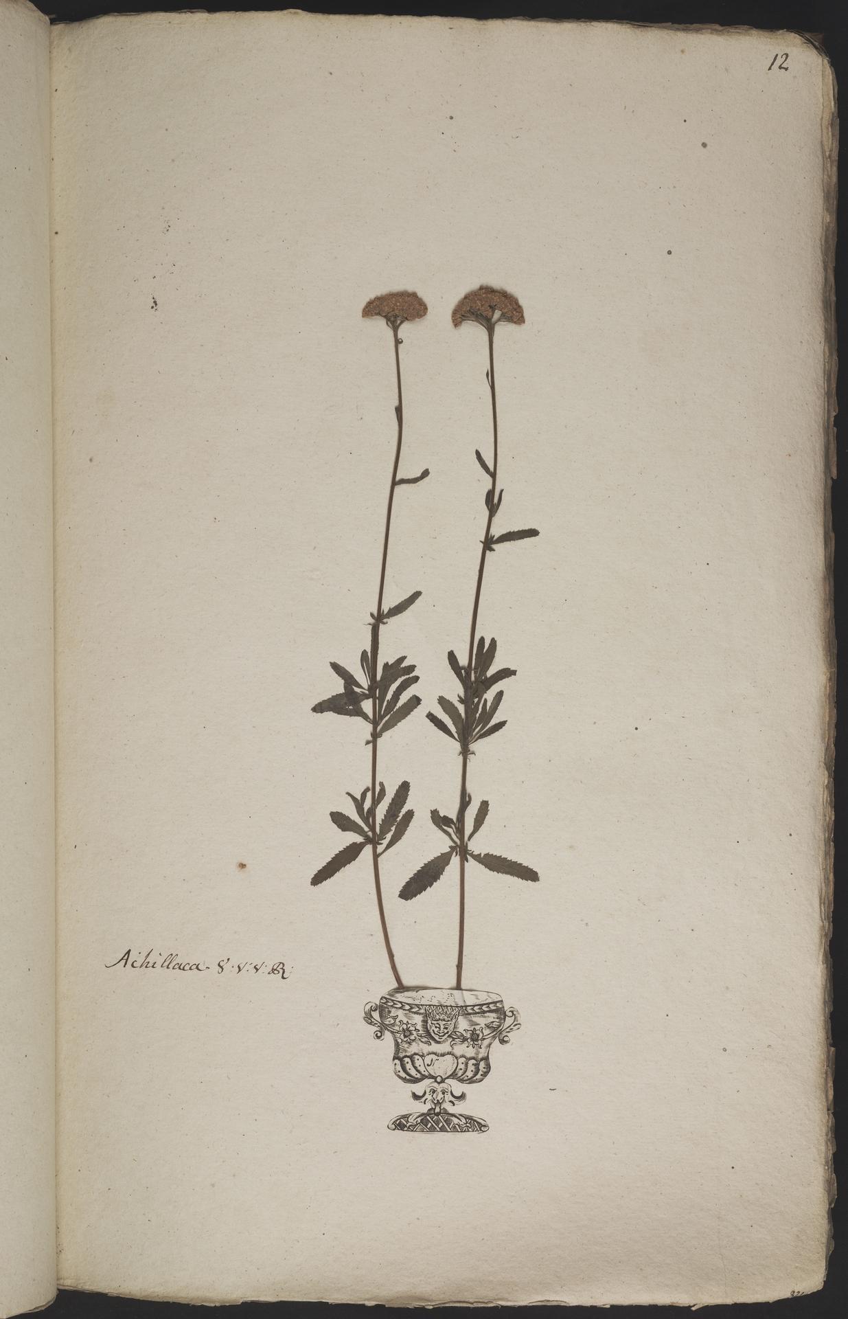 L.3960857 | Achillea ageratum L.