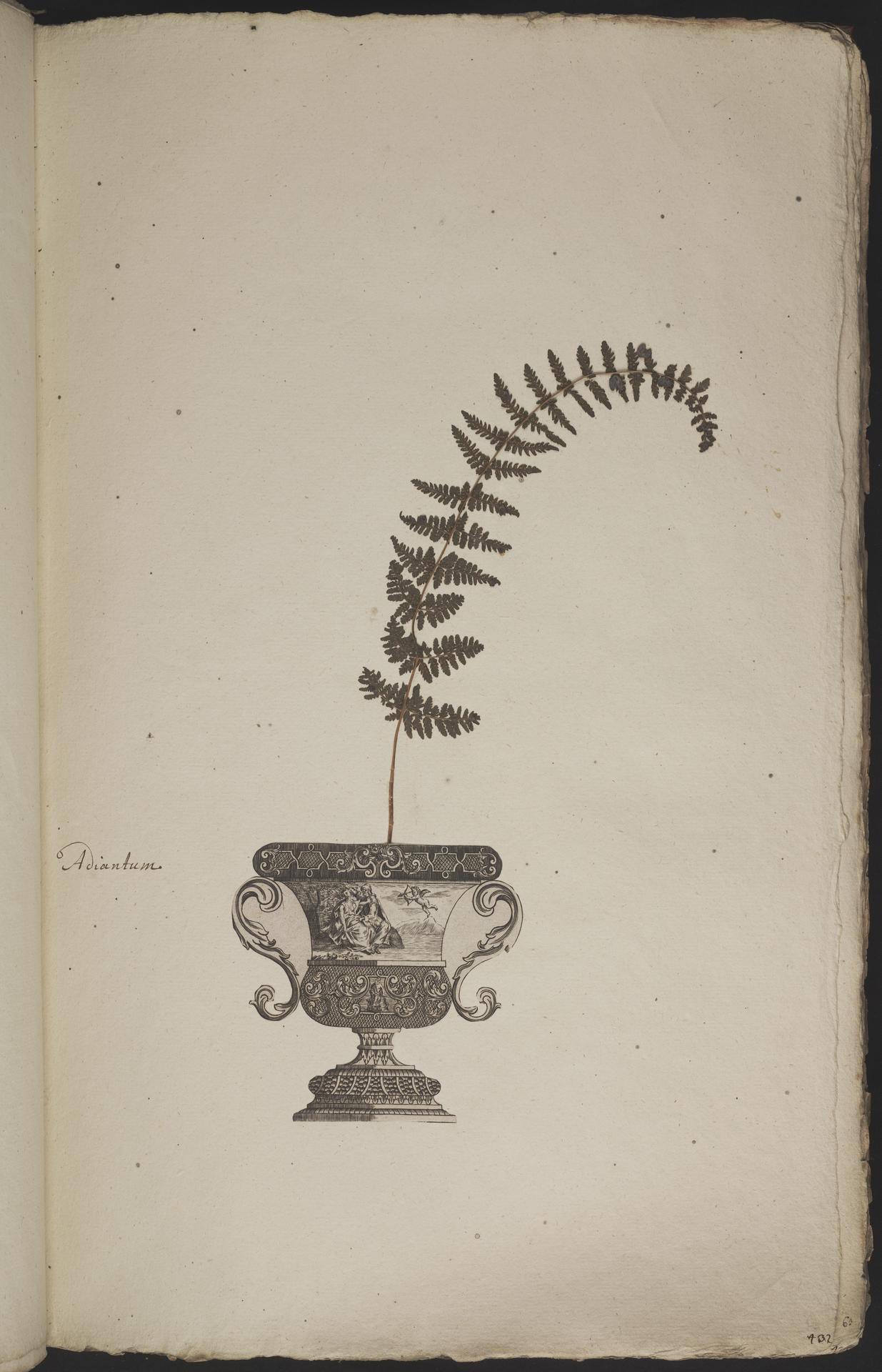 L.3960860 | Cystopteris bulbifera (L.) Bernh.