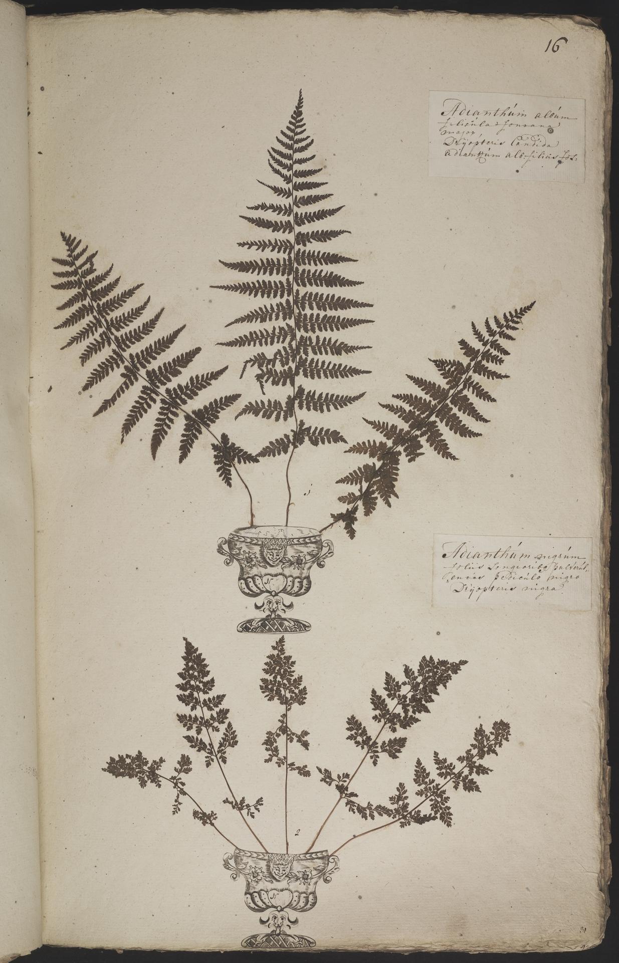 L.3960863 | Athyrium ×filix-femina Schube