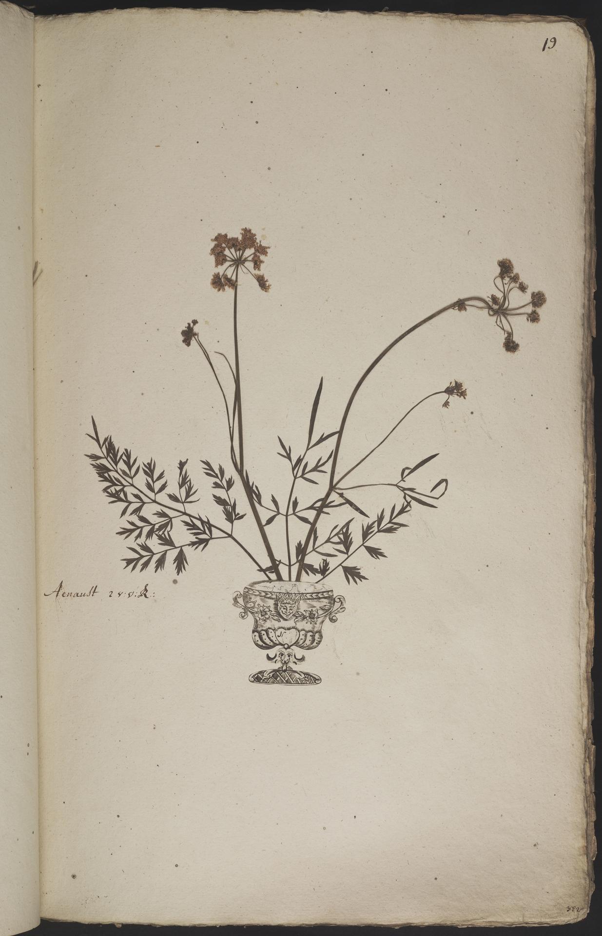 L.3960867 | Oenanthe pimpinelloides L.