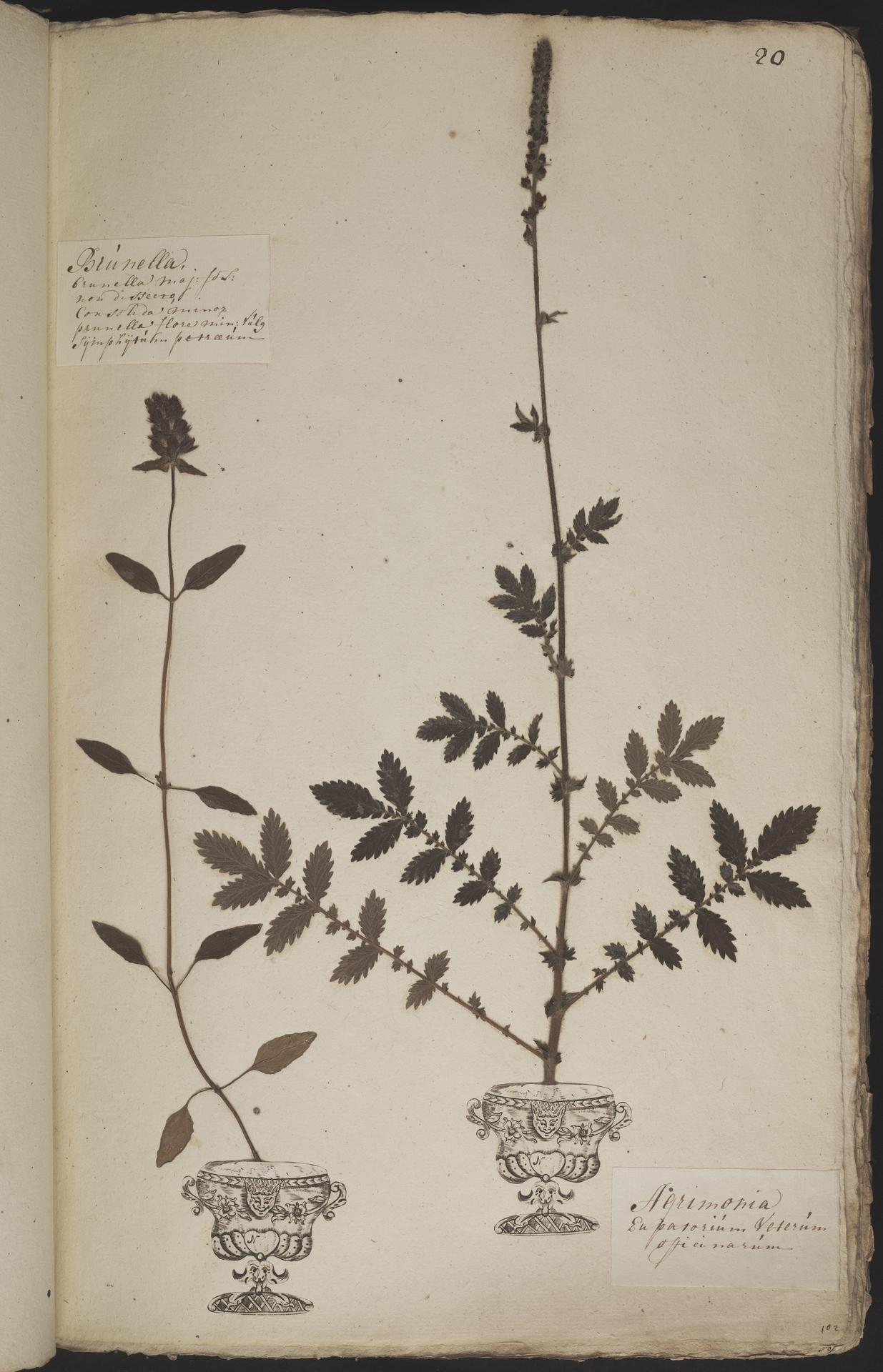 L.3960869 | Agrimonia eupatoria L.