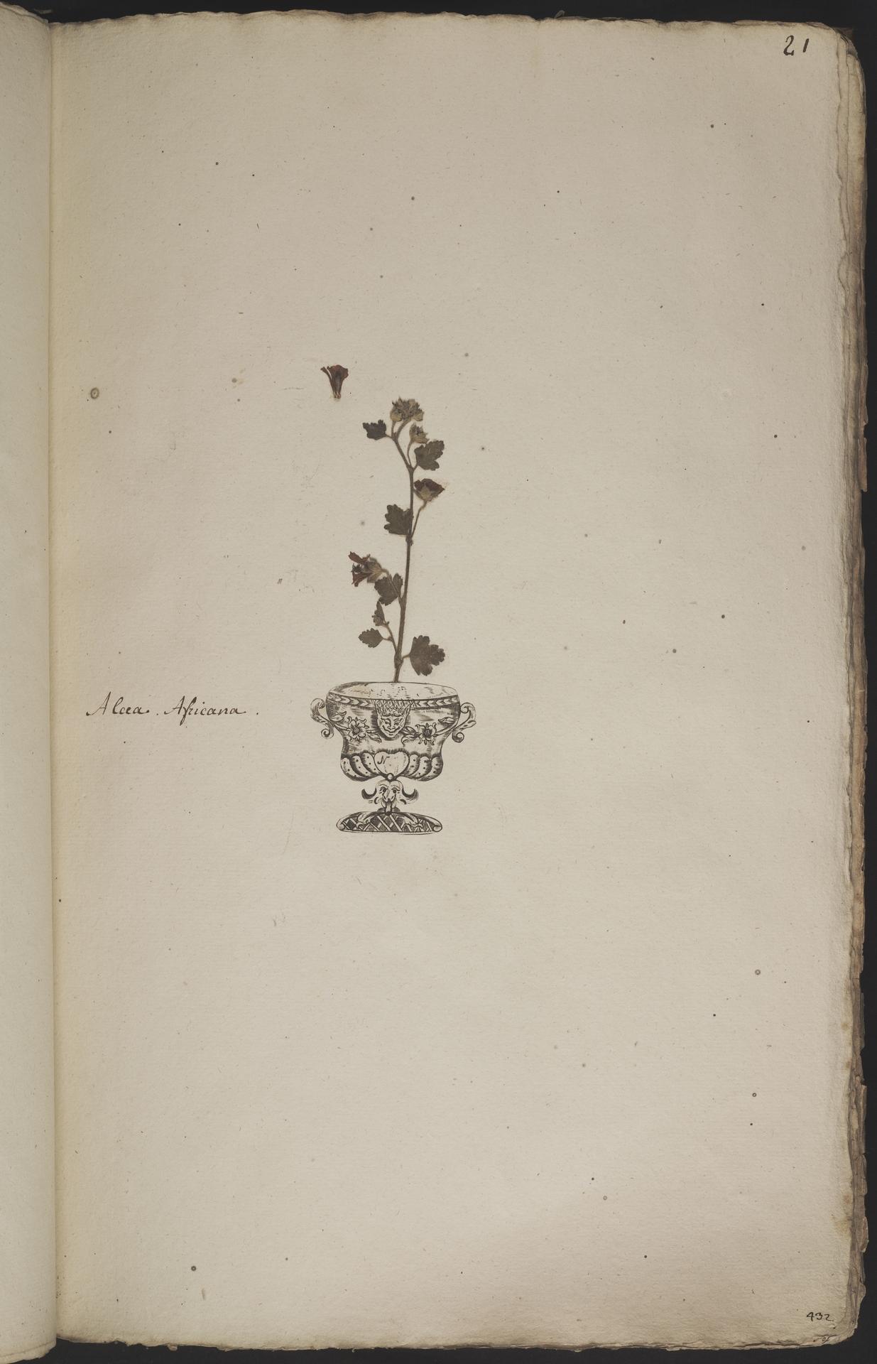 L.3960870 | Anisodontea capensis (L.) D.M.Bates