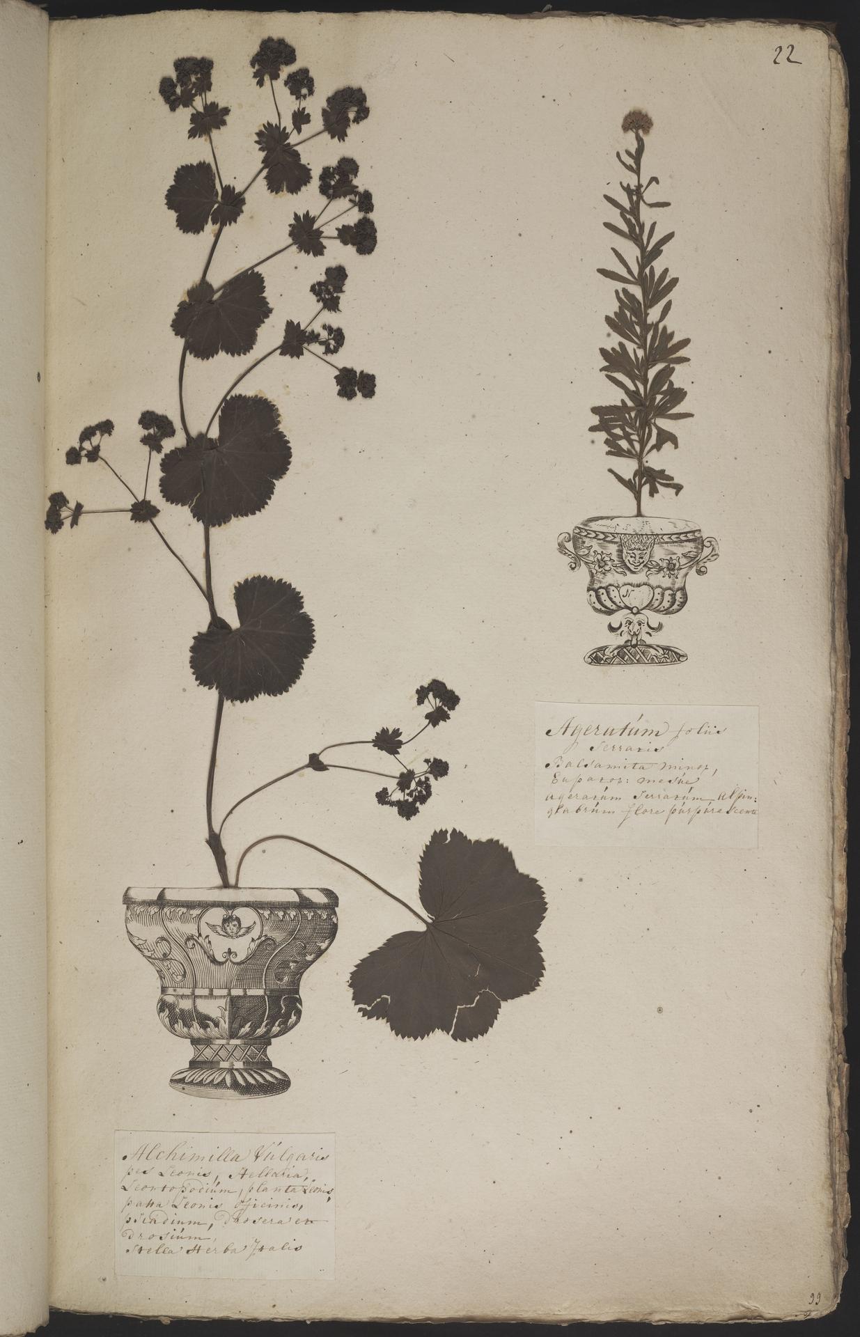 L.3960872 | Achillea ageratum L.