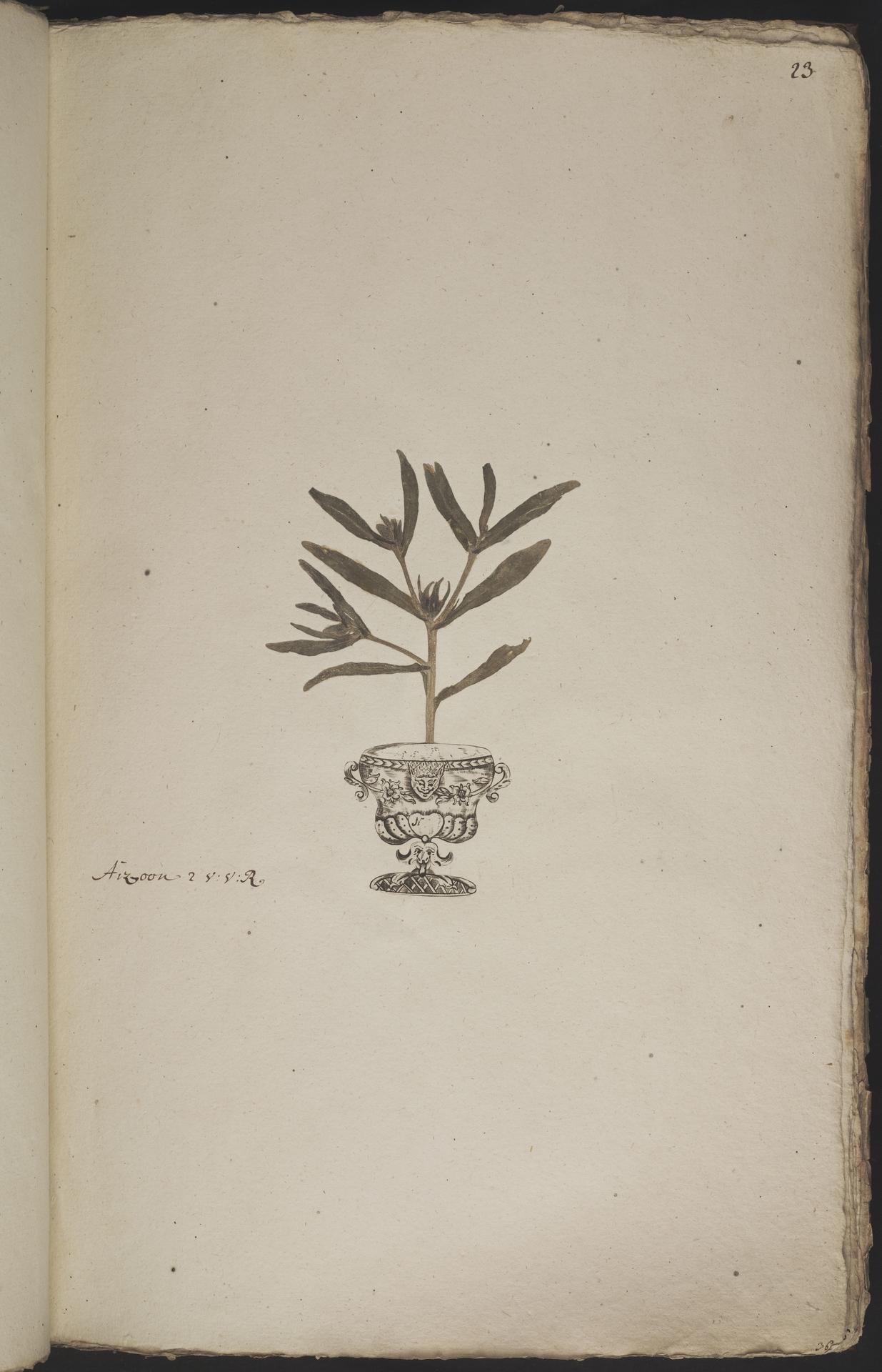 L.3960873   Aizoanthemum hispanicum (L.) H.E.K.Hartmann
