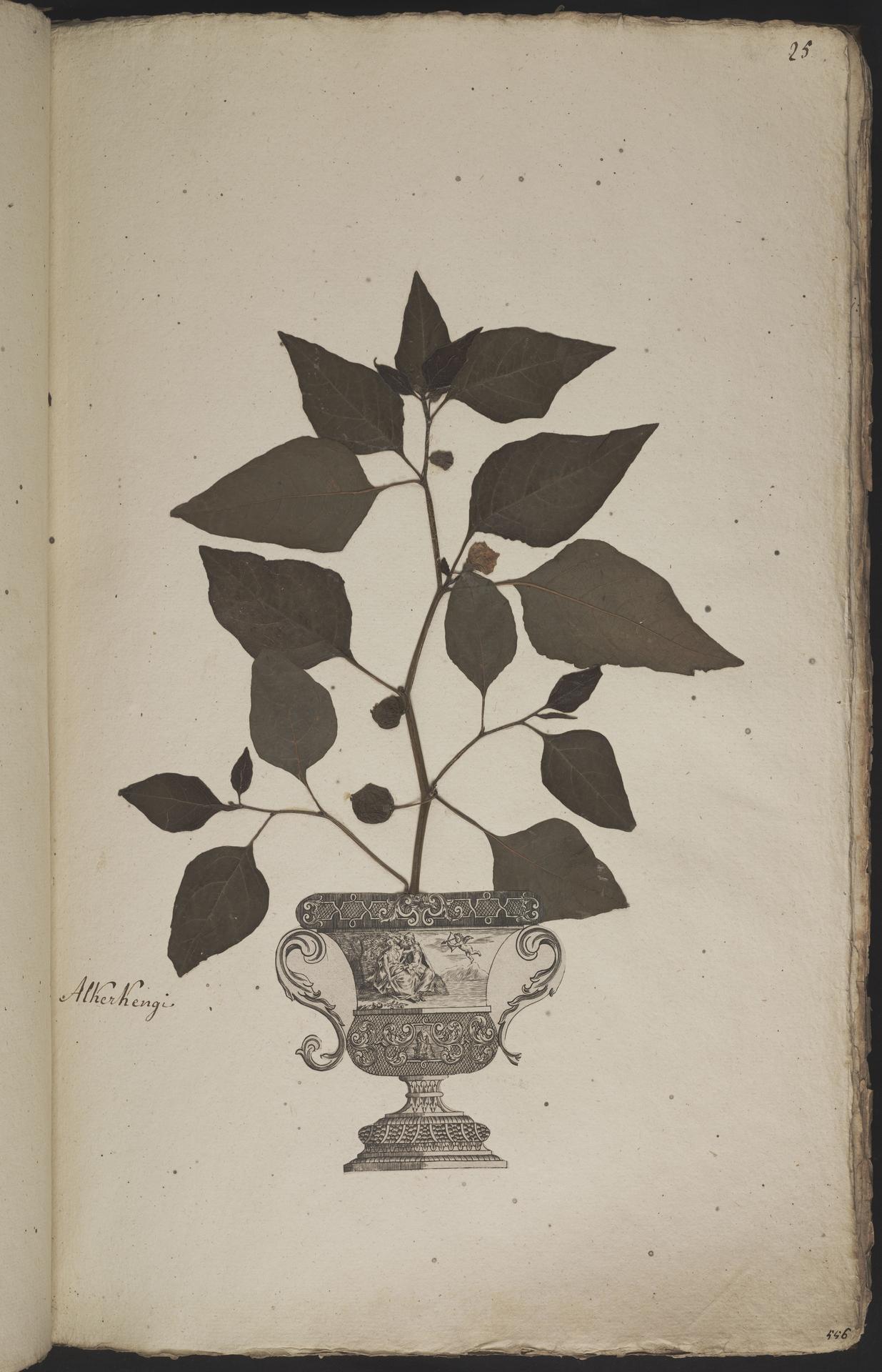 L.3960875 | Physalis alkekengi L.
