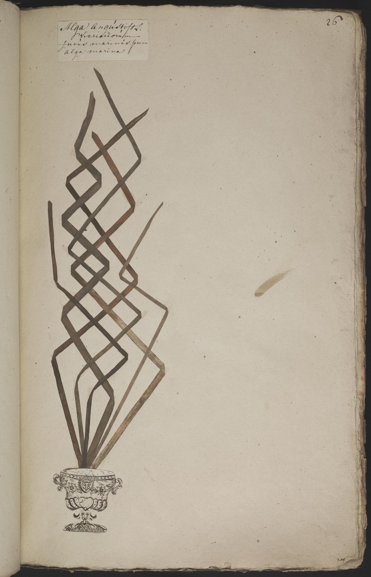 L.3960876 | Zostera marina L.