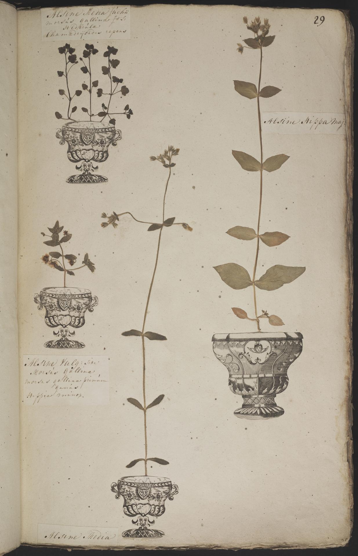 L.3960880 | Anagallis arvensis L.