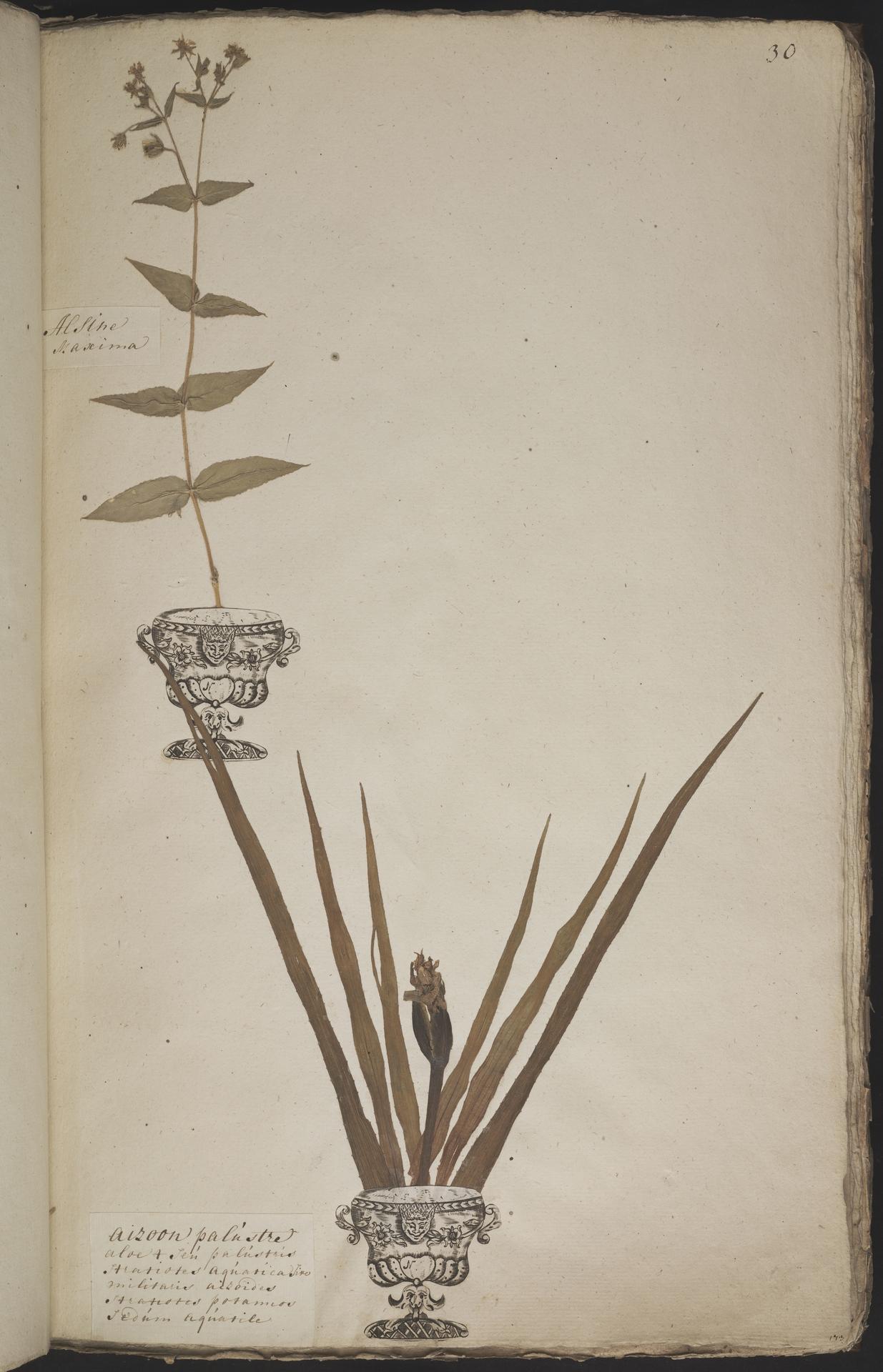 L.3960884 | Stratiotes aloides L.