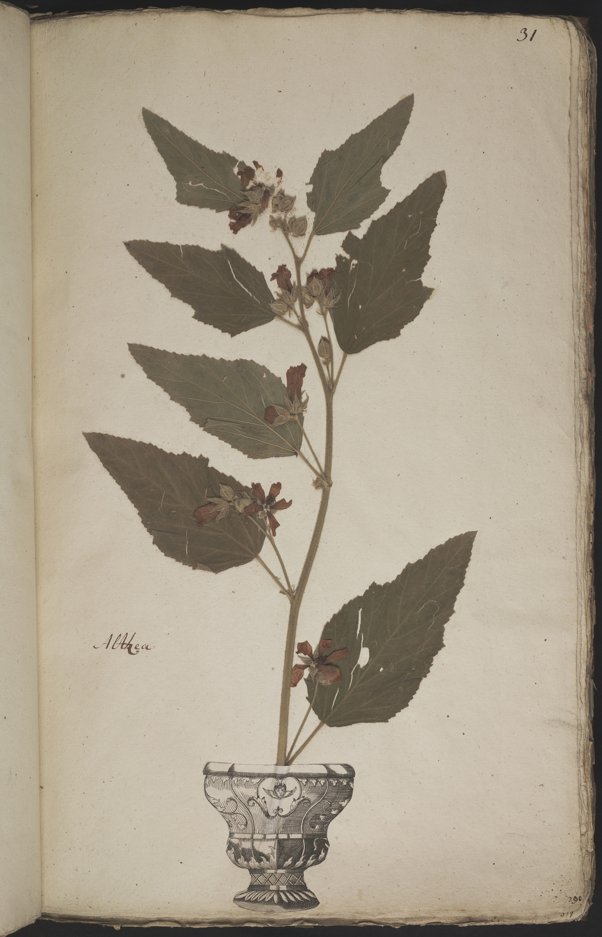 L.3960885 | Althaea officinalis L.