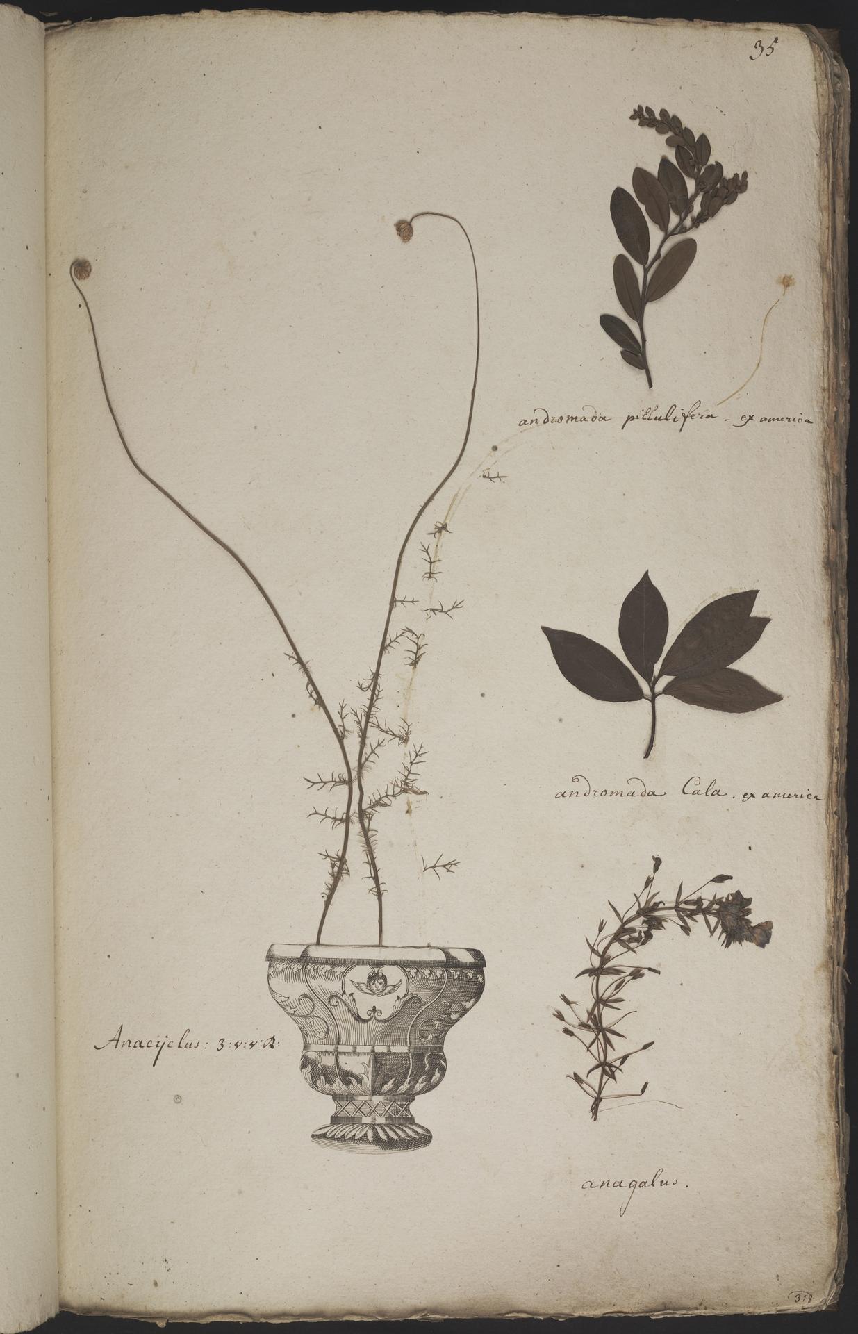 L.3960891 | Chamaedaphne calyculata (L.) Moench