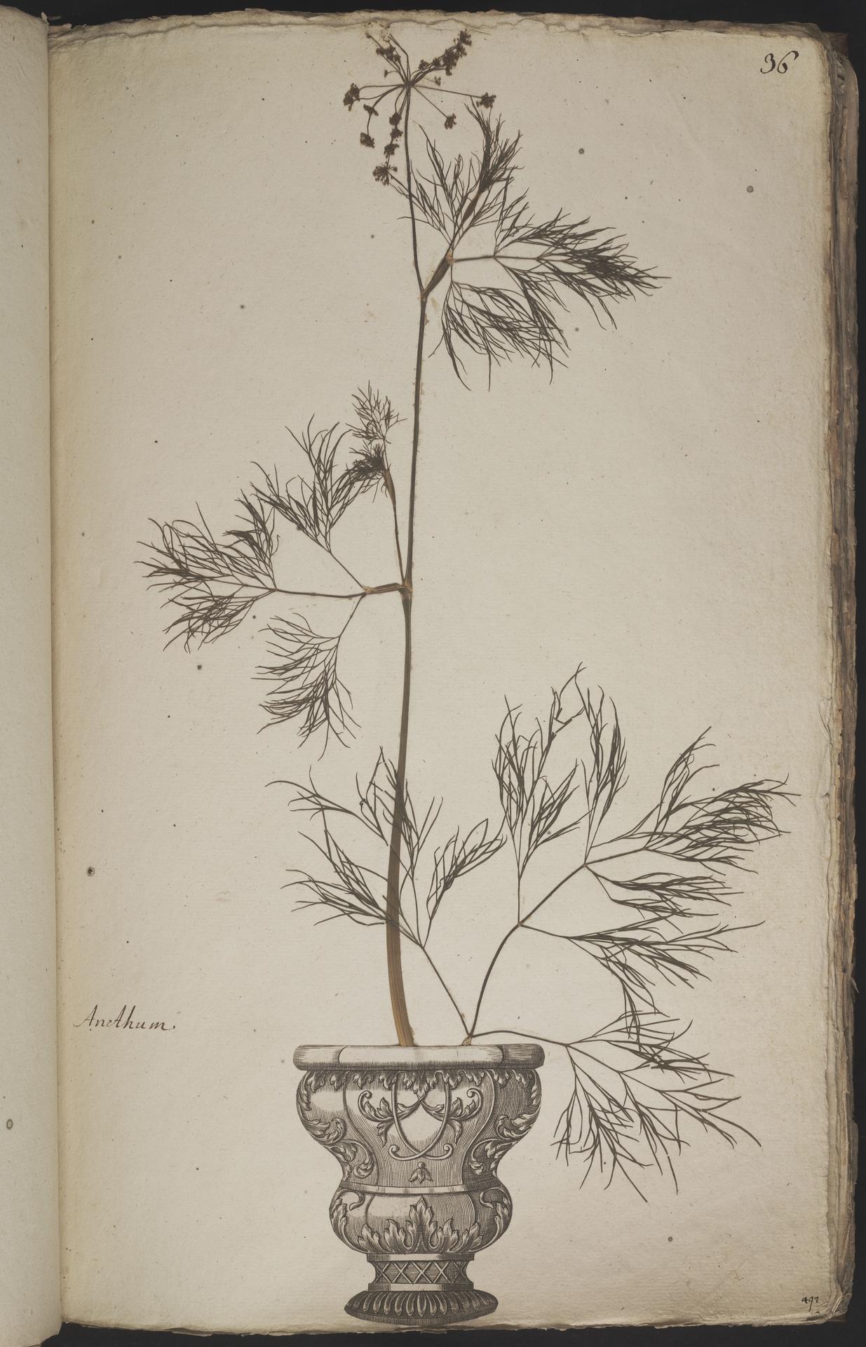 L.3960894 | Anethum graveolens L.