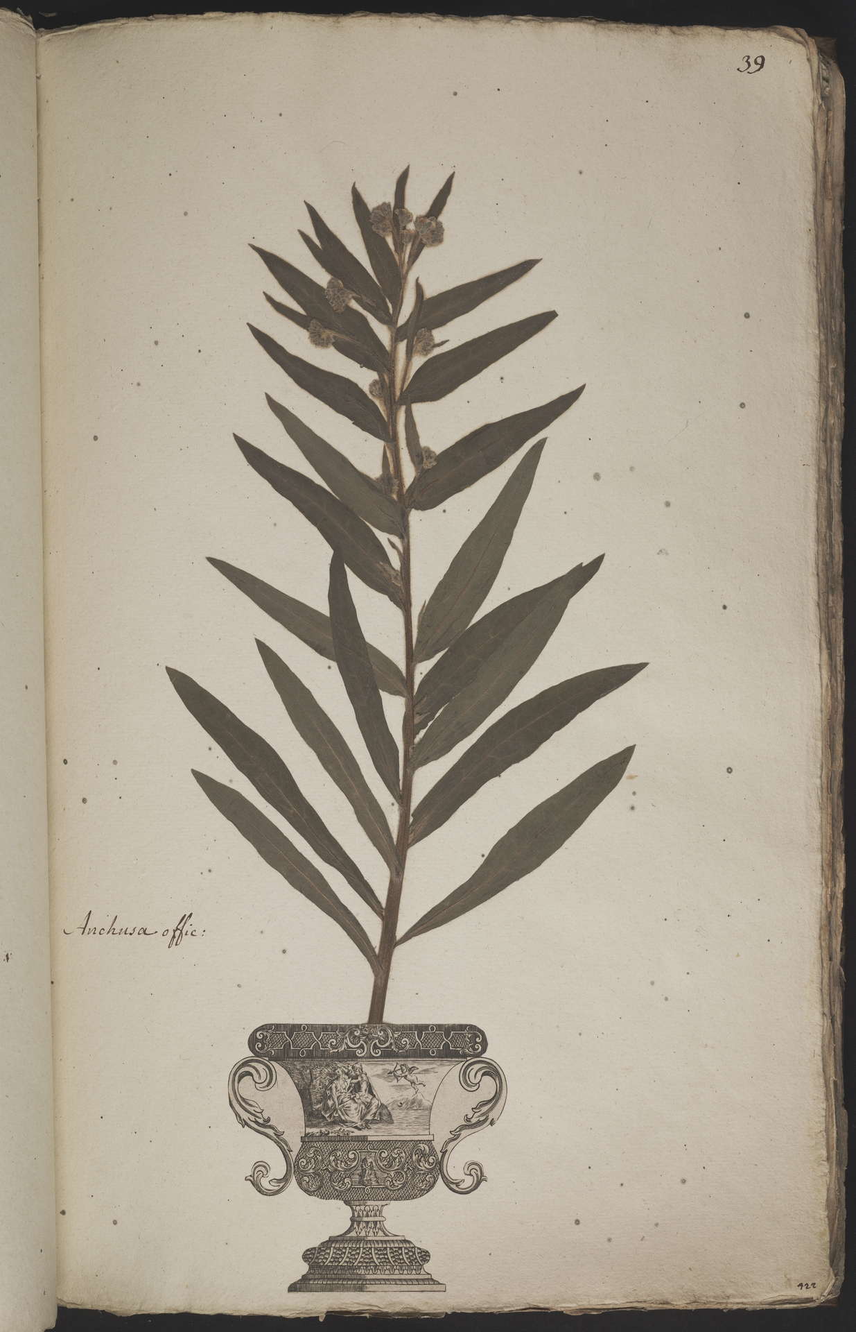 L.3960897 | Cynoglossum officinale L.