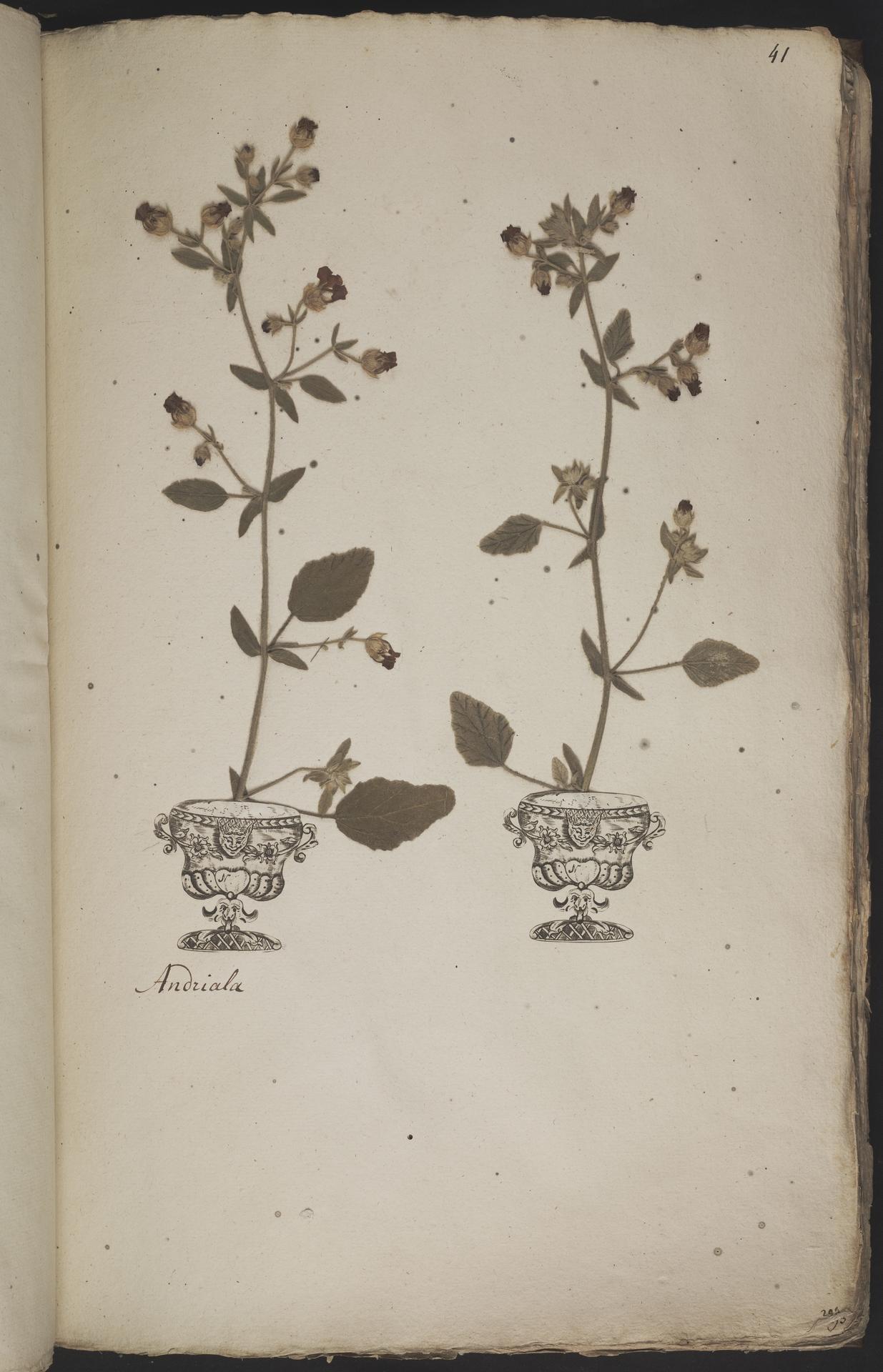 L.3960899 | Hermannia althaeifolia L.