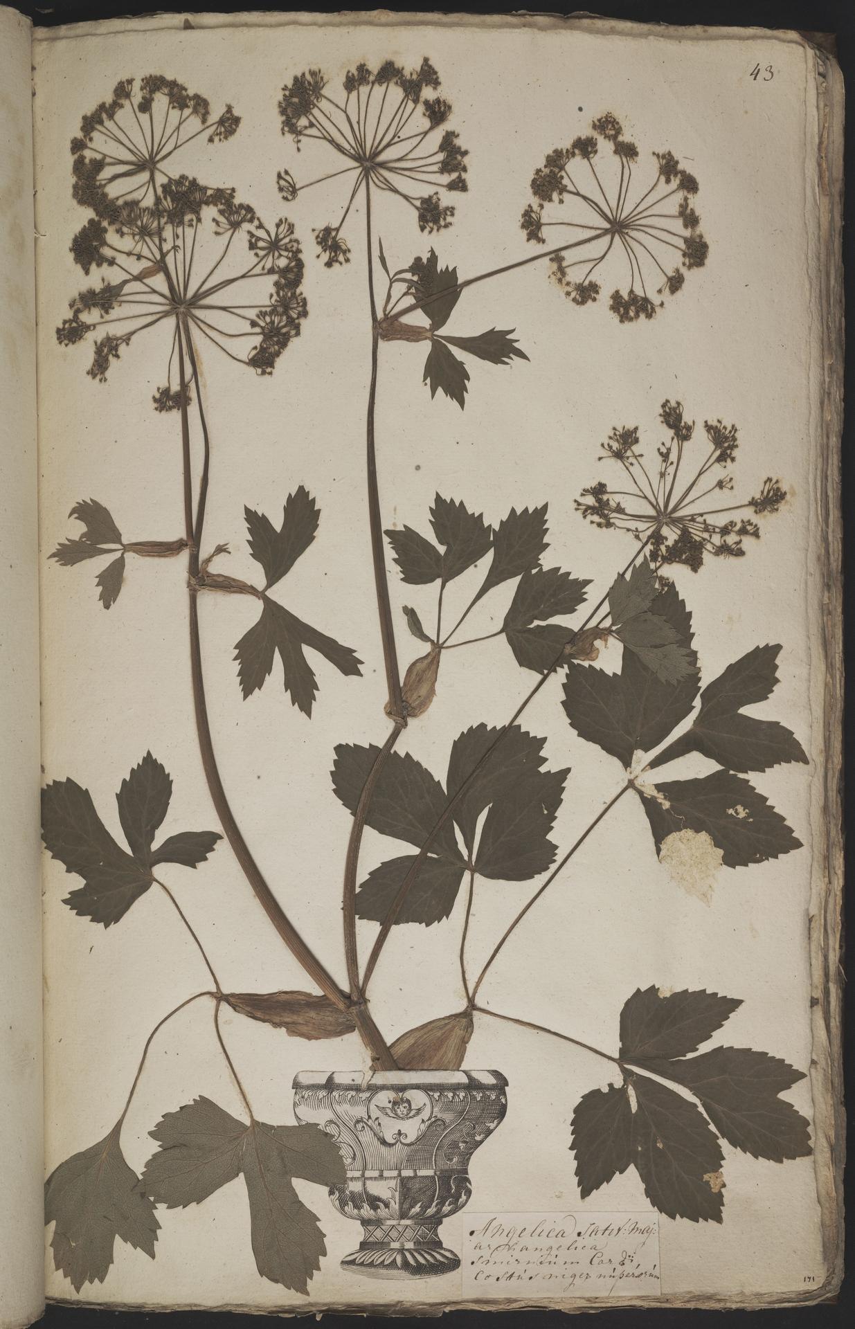 L.3960901 | Peucedanum ostruthium (L.) W.D.J.Koch