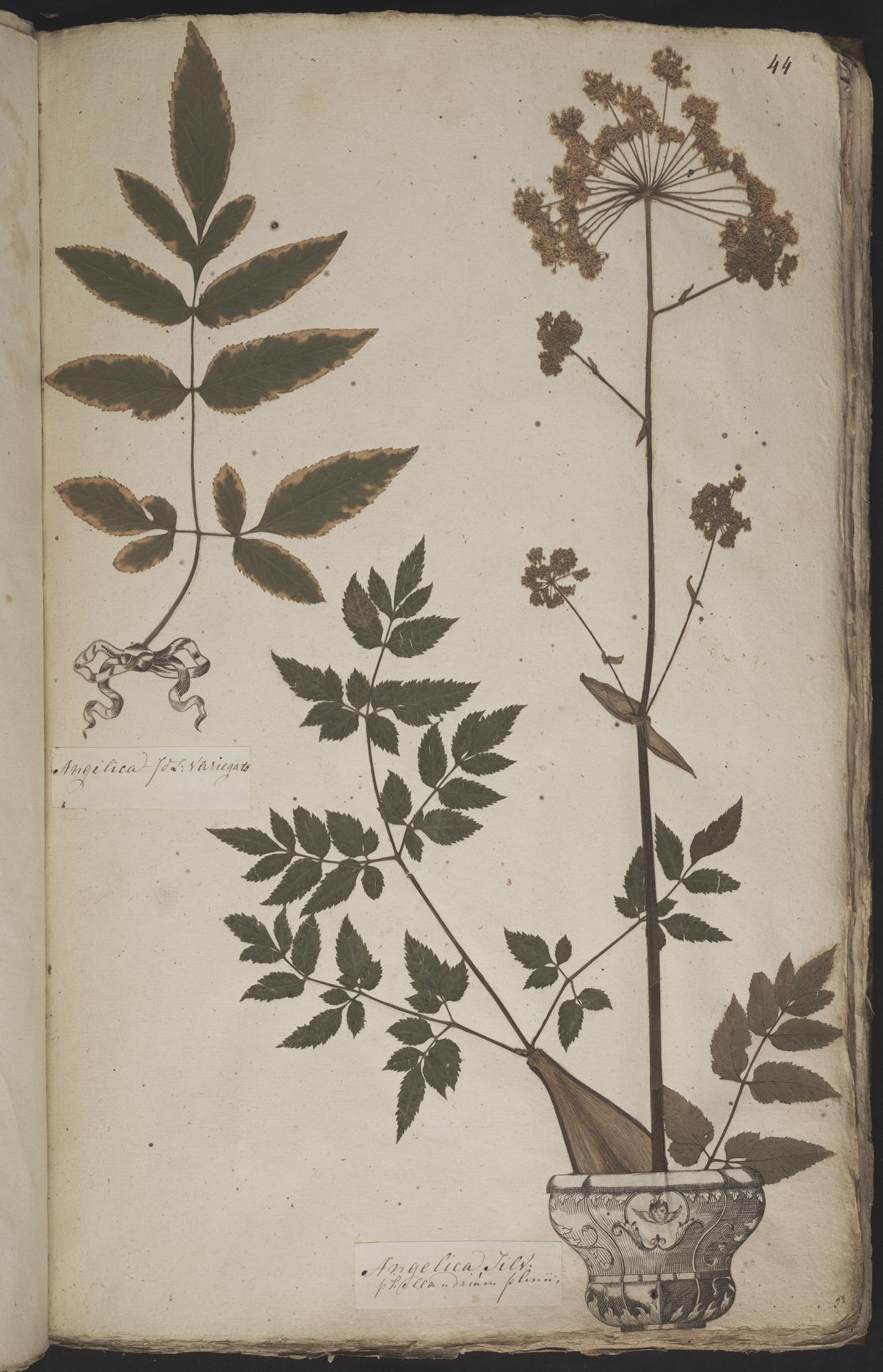L.3960902 | Angelica sylvestris L.