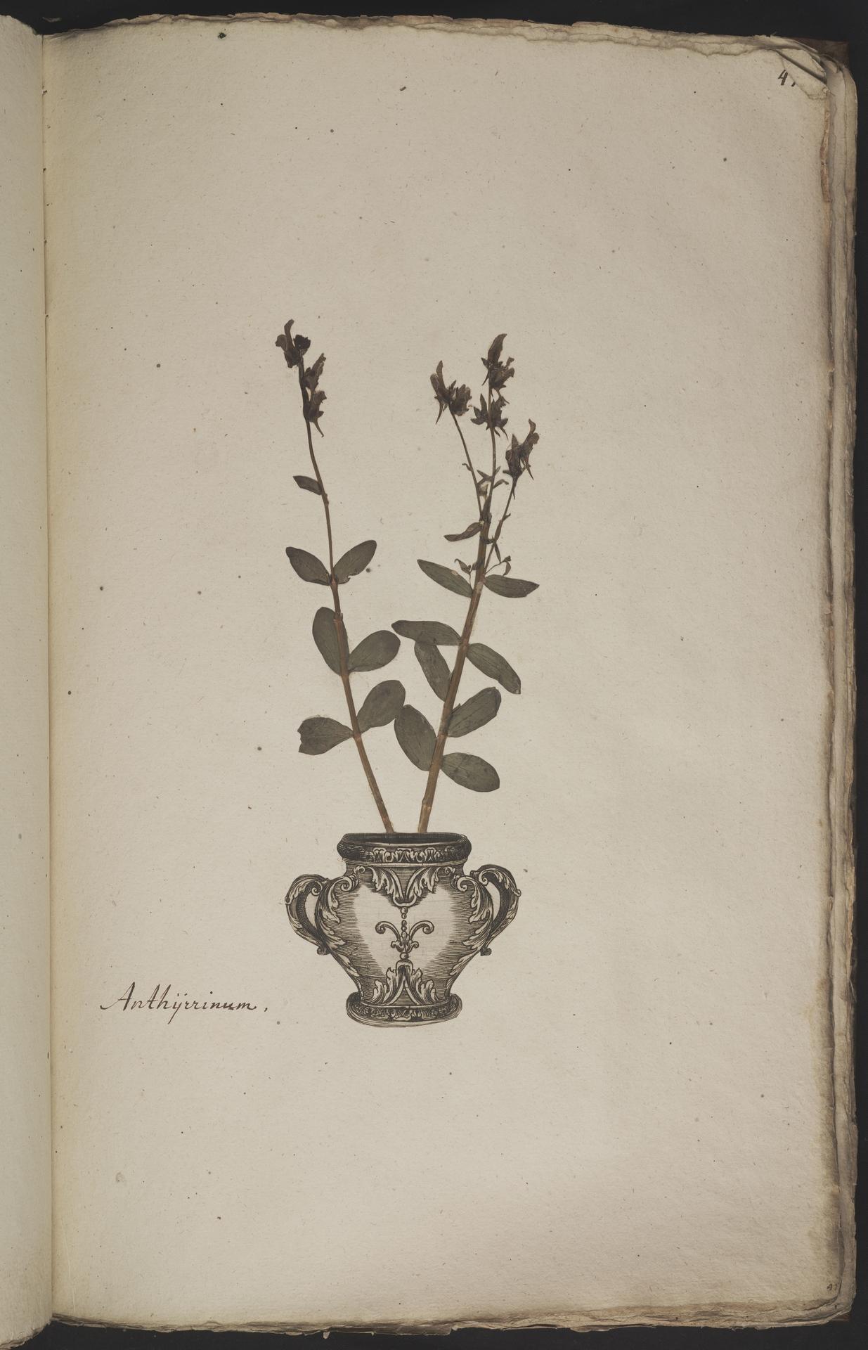 L.3960906 | Linaria triphylla (L.) Mill.