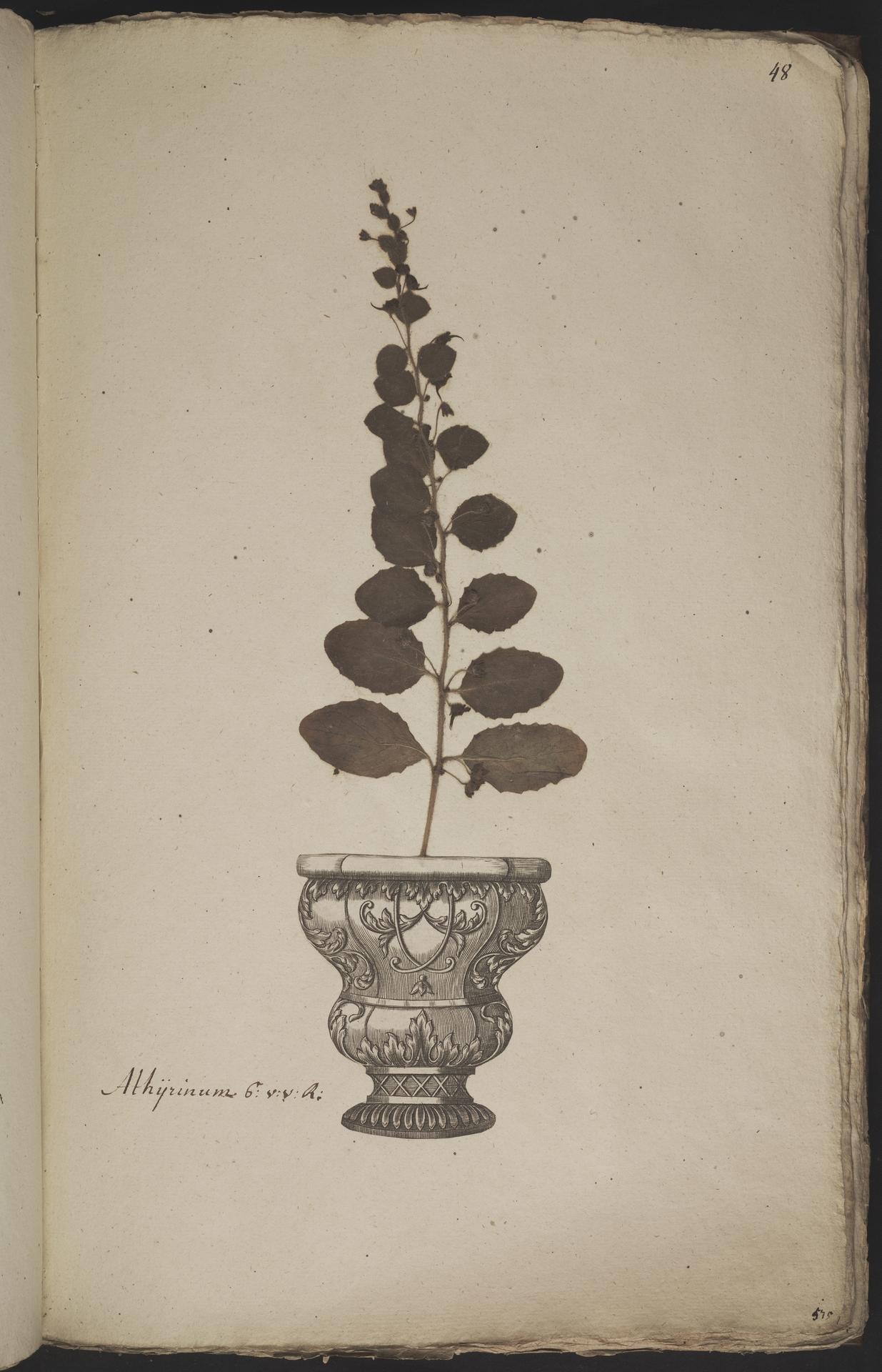 L.3960907 | Kickxia spuria (L.) Dumort.