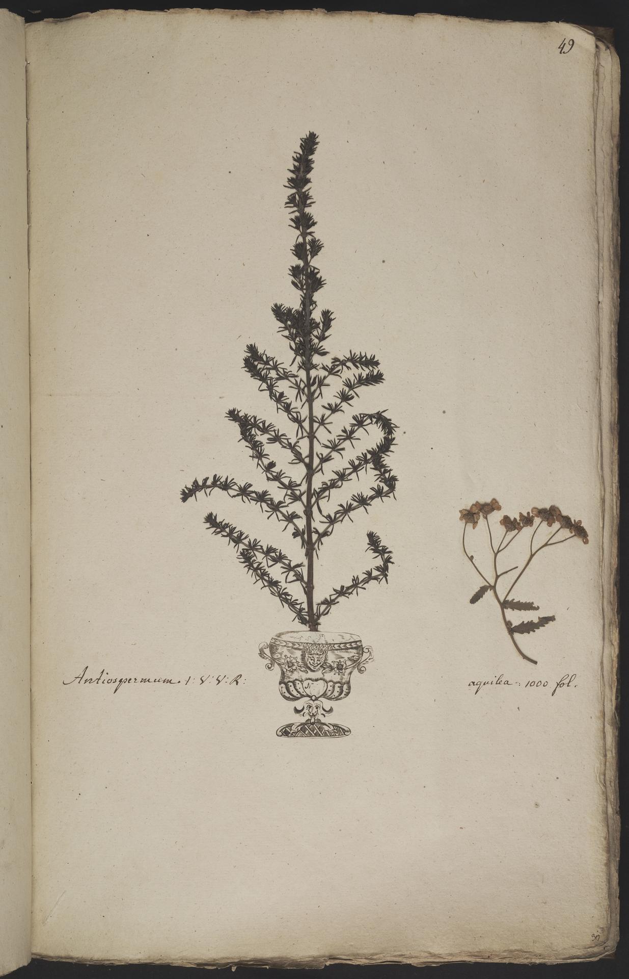 L.3960908 | Anthospermum aethiopicum L.