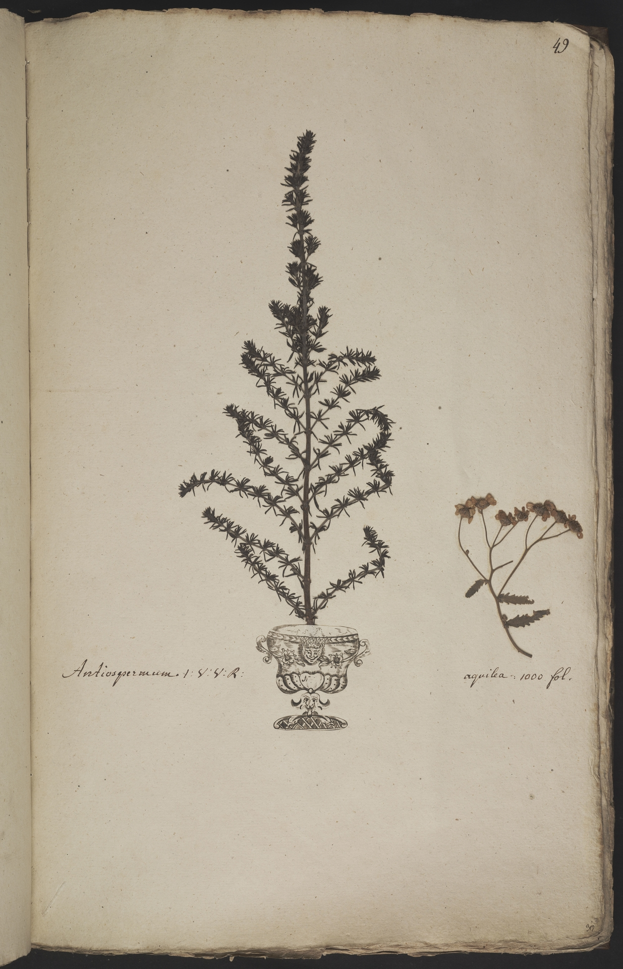 L.3960909 | Achillea ptarmica L.