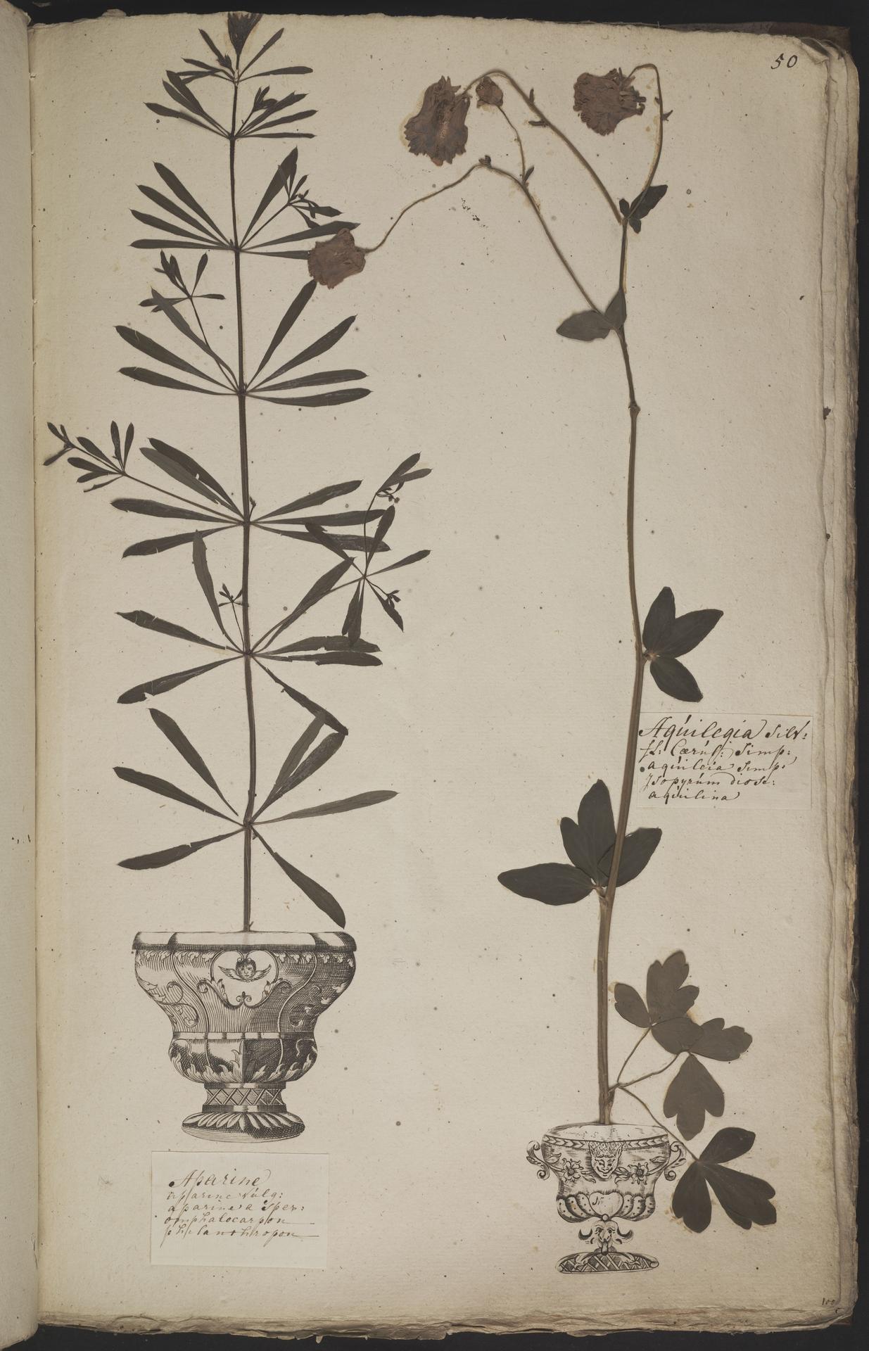 L.3960911 | Aquilegia vulgaris L.