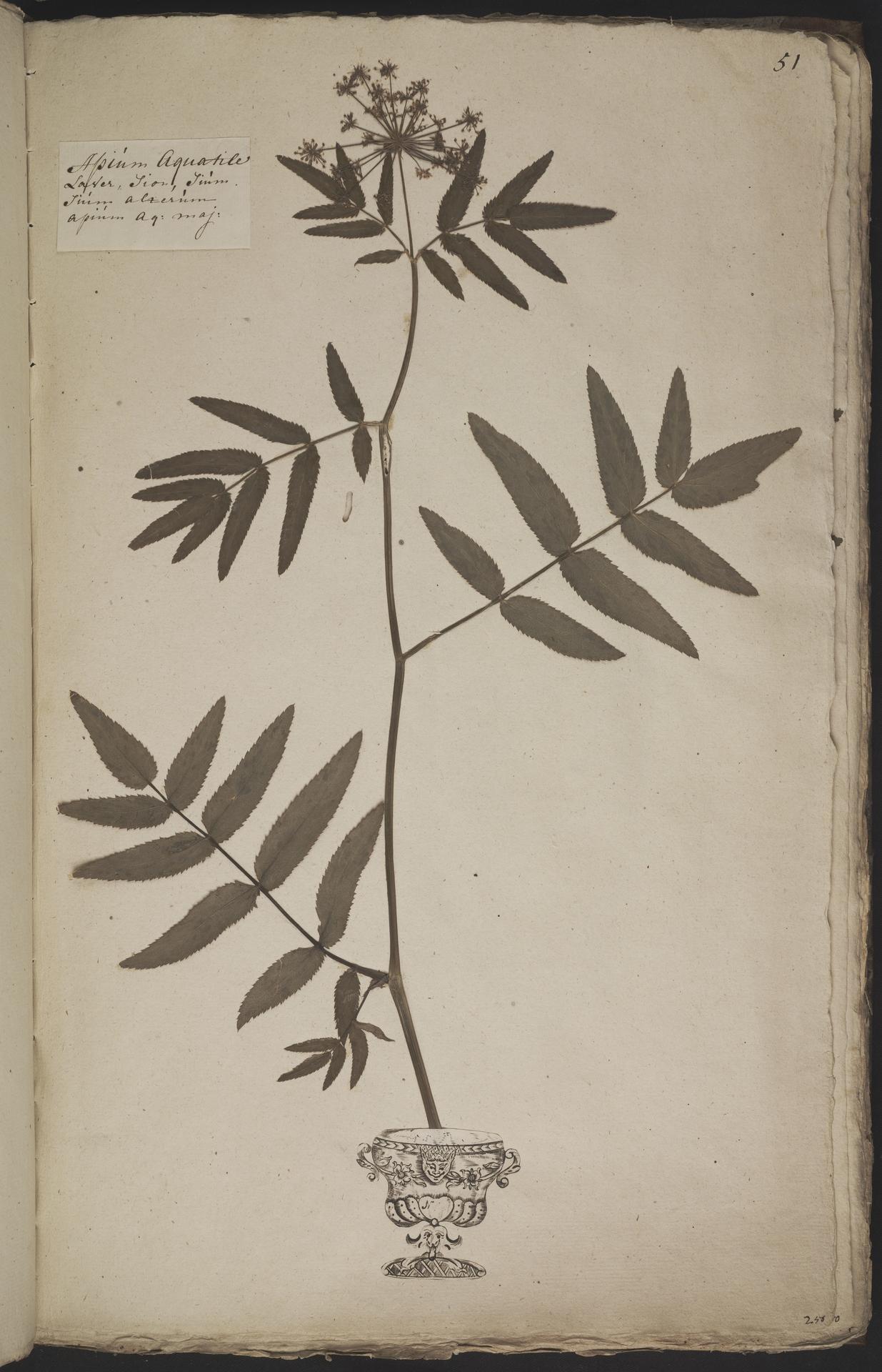 L.3960912 | Sium latifolium L.