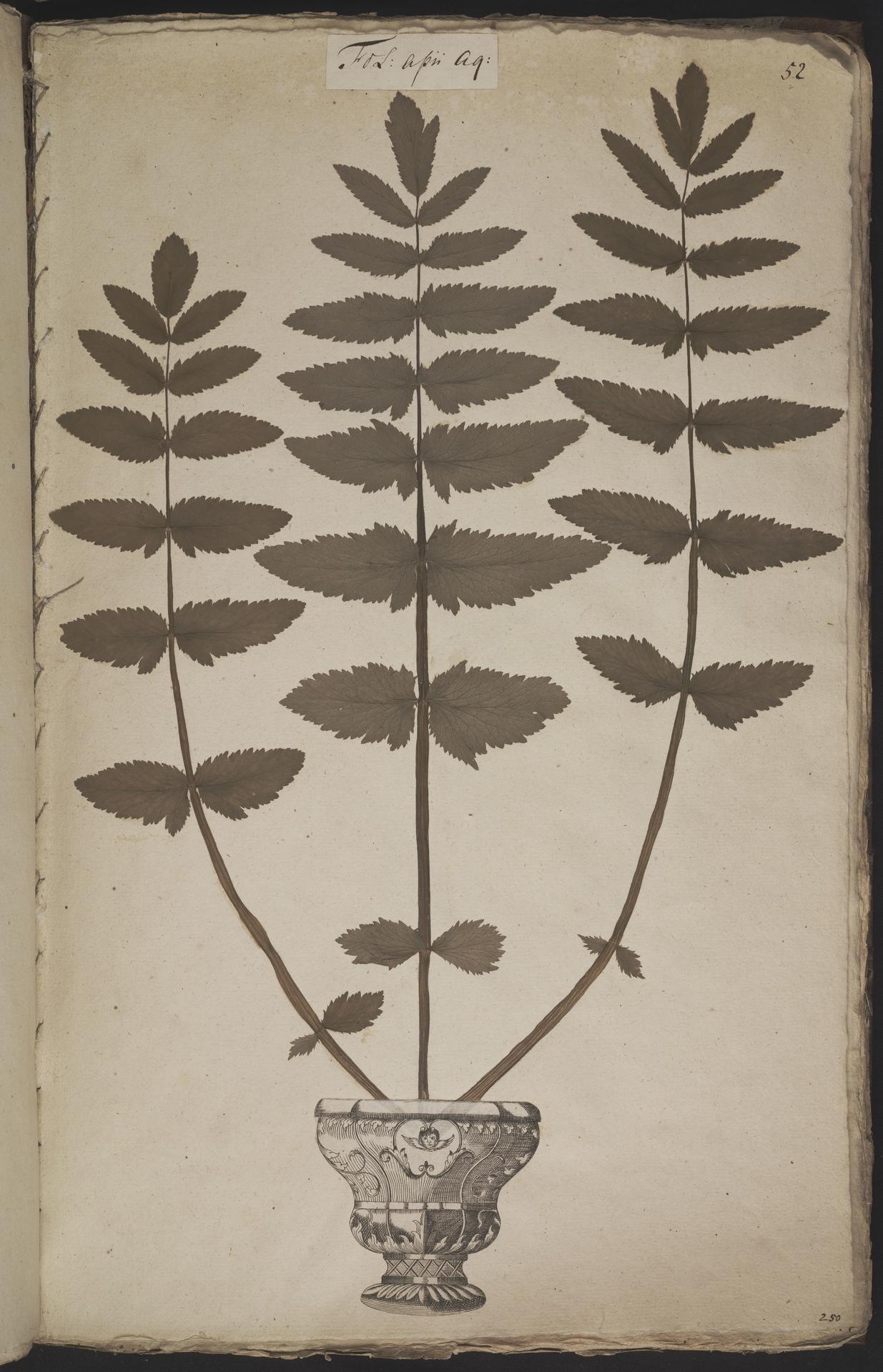 L.3960913 | Berula erecta (Huds.) Coville