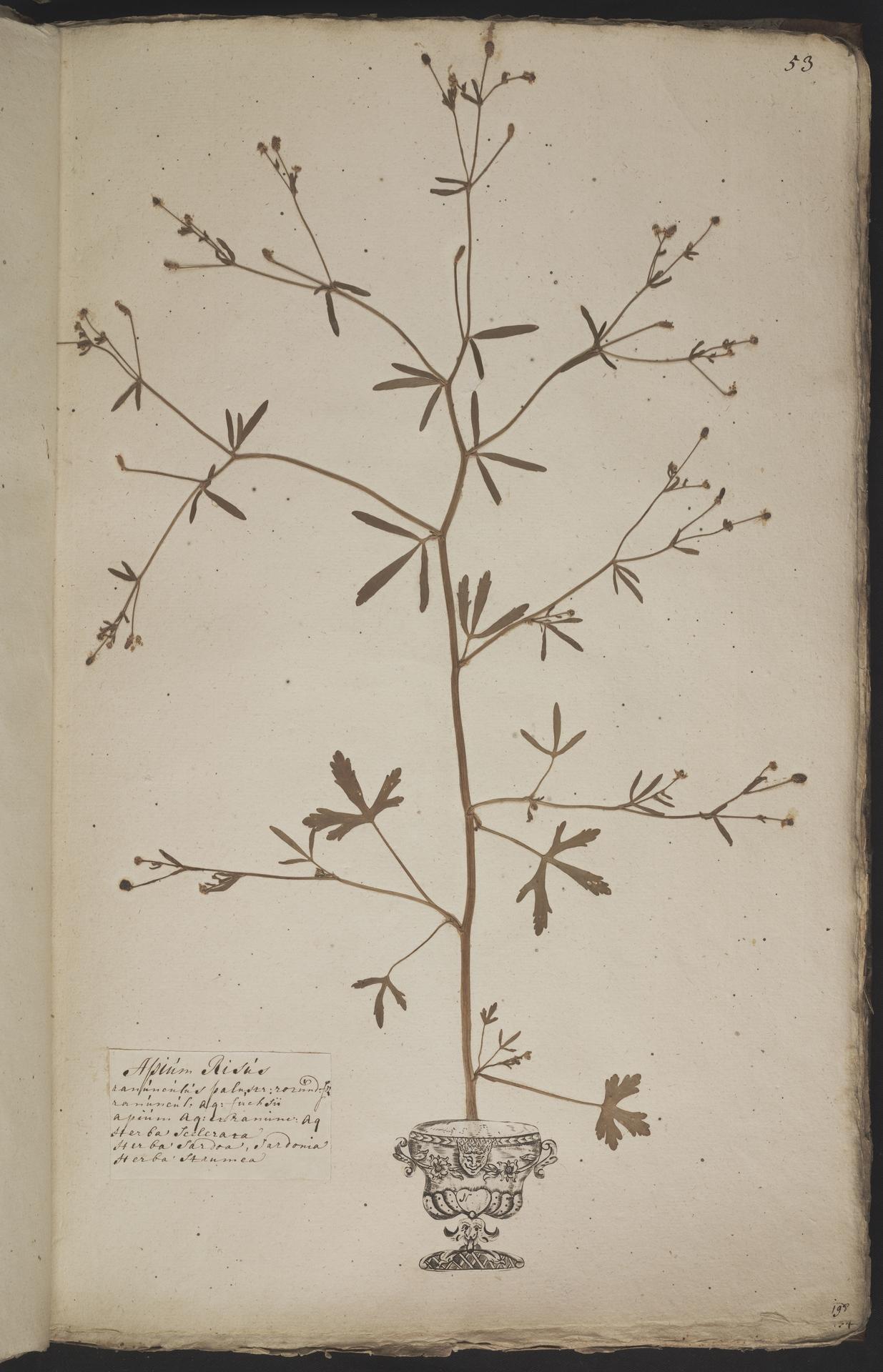 L.3960914 | Ranunculus sceleratus L.