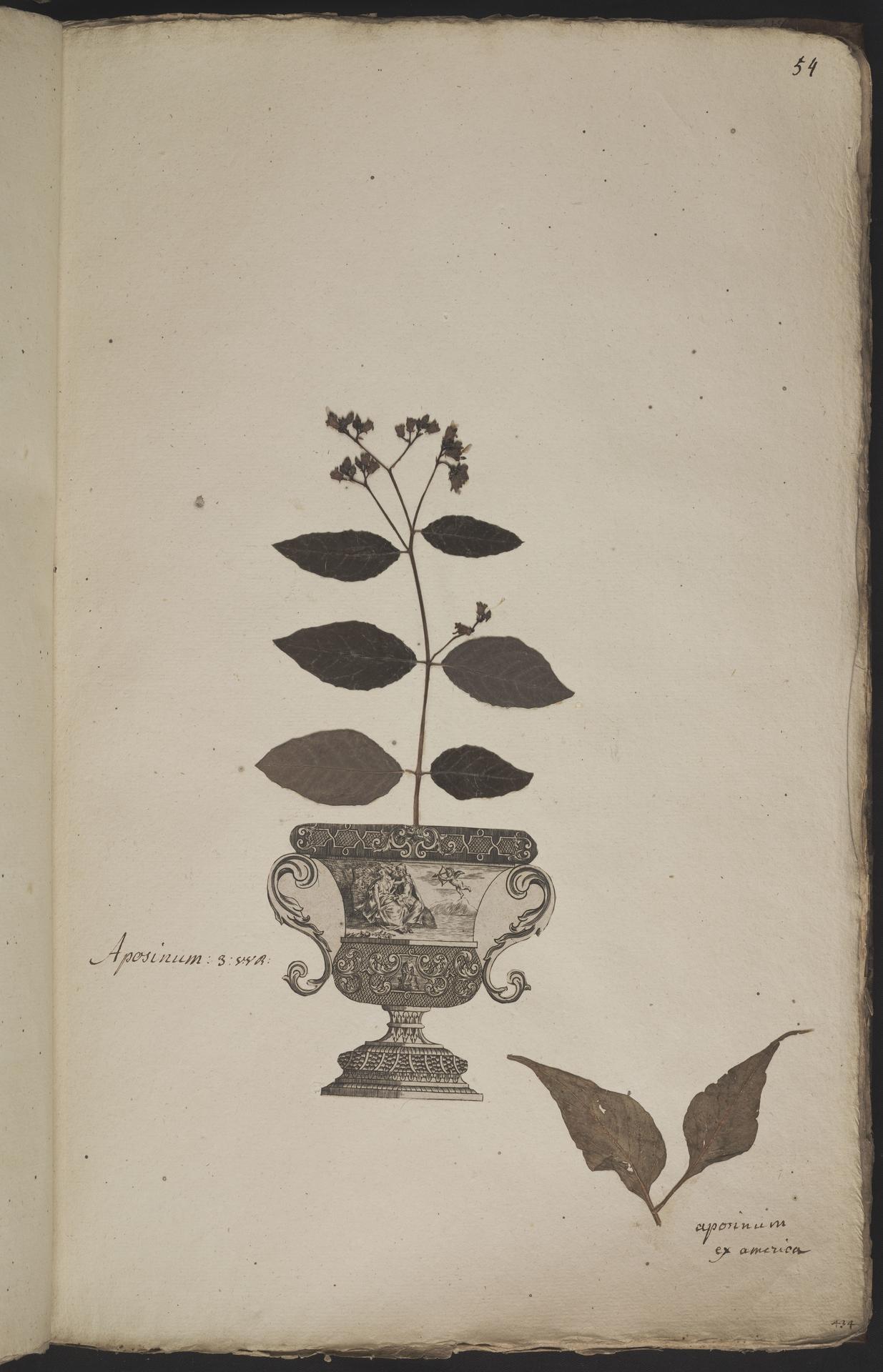 L.3960915 | Apocynum androsaemifolium L.