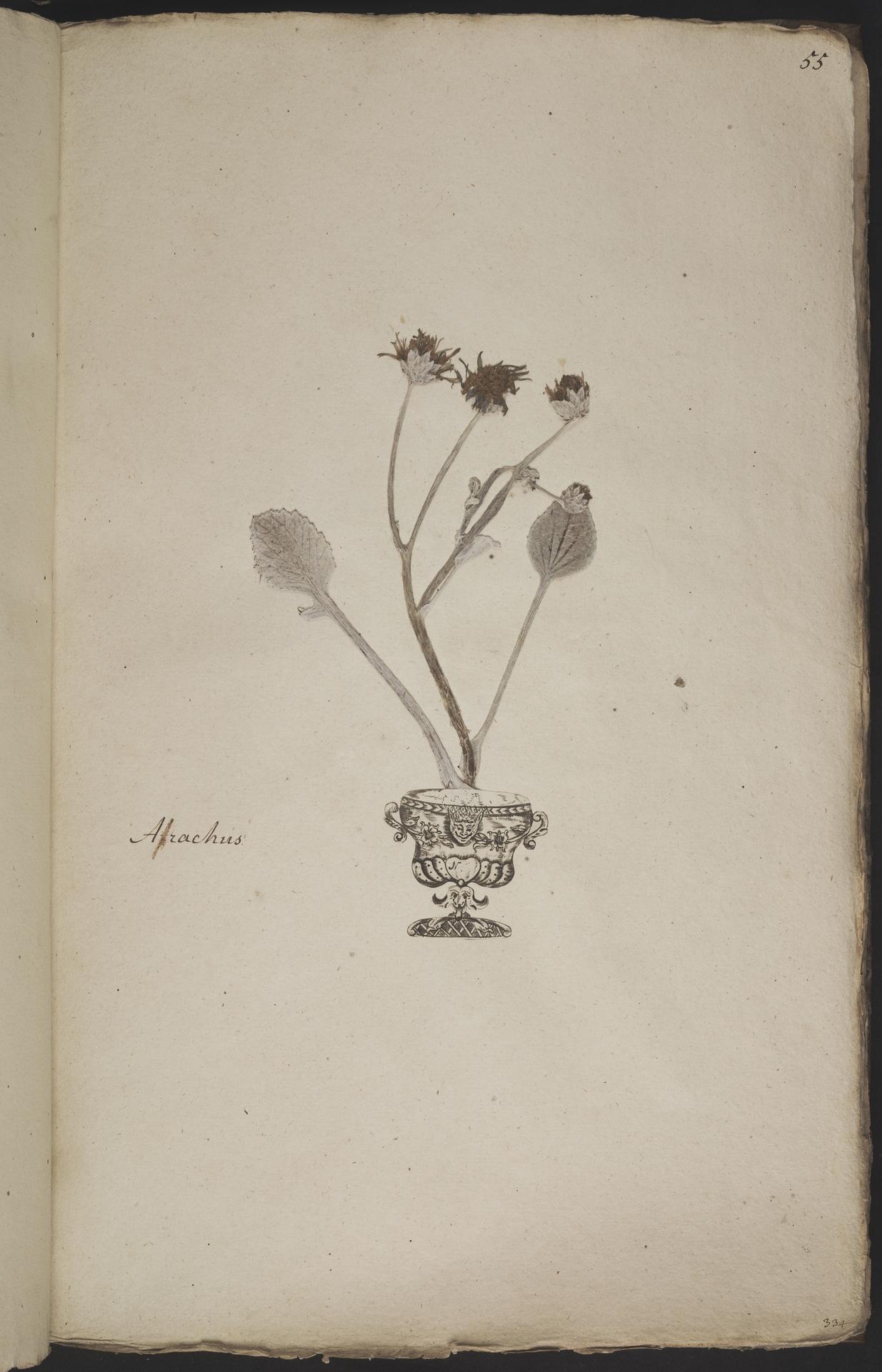 L.3960917 | Arctotheca populifolia (P.J.Bergius) Norl.