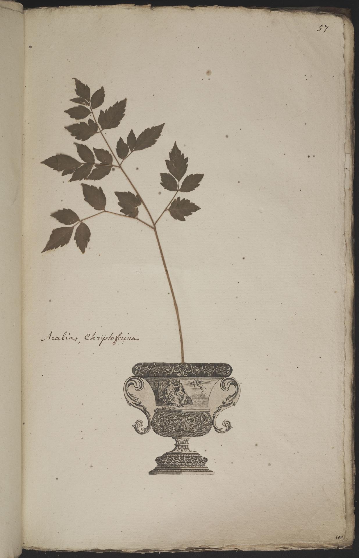 L.3960919 | Actaea spicata L.