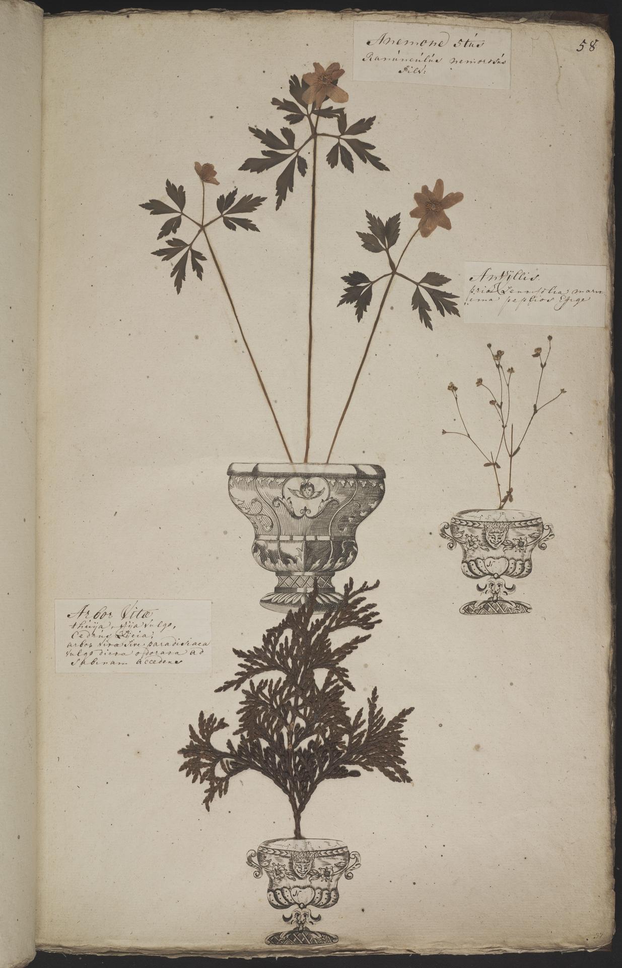 L.3960920 | Anemone nemorosa L.